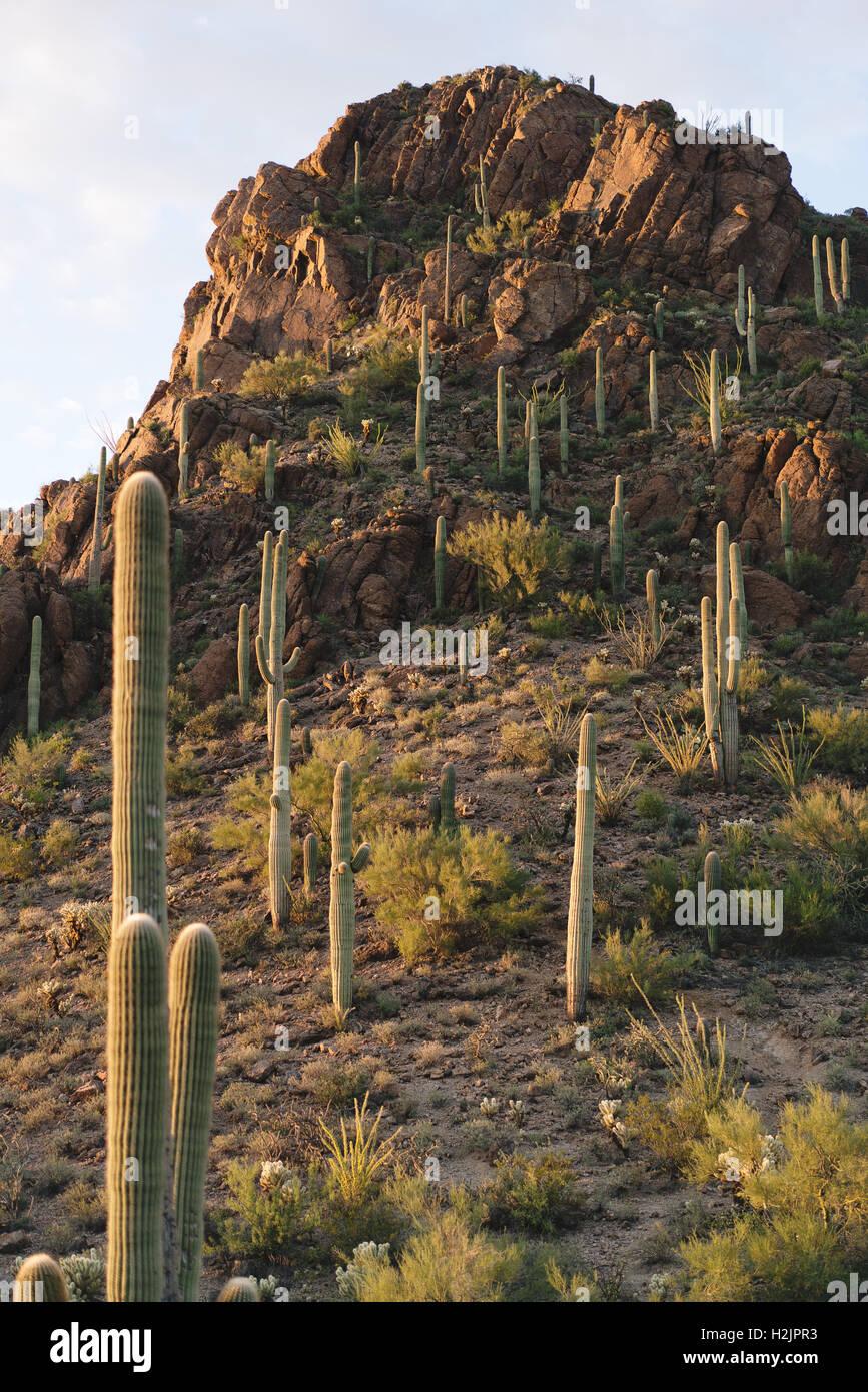 Saguaro-Kakteen für ein Berg in der Wüste der Saguaro-Nationalpark Stockbild