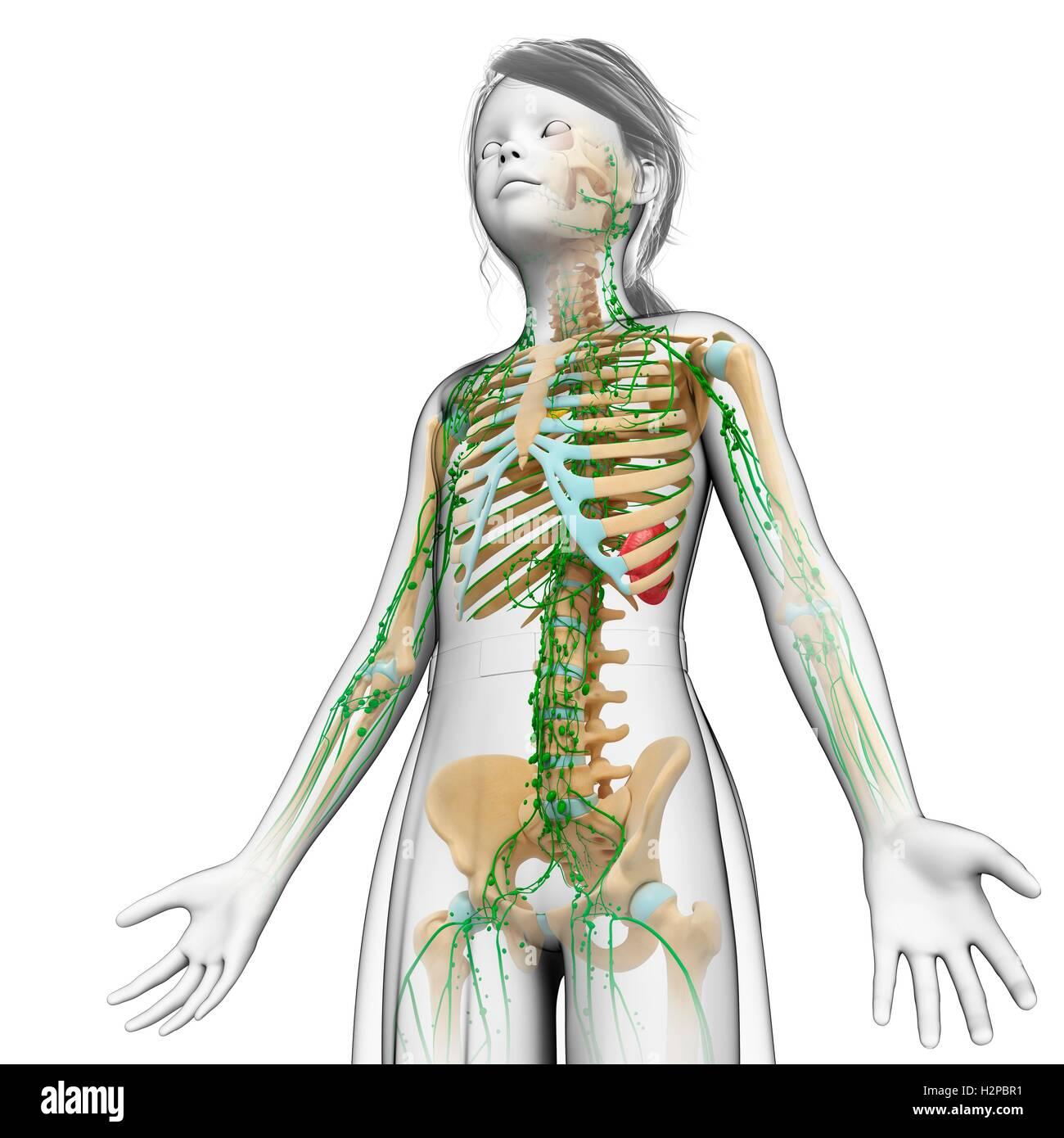 Skeletal System Stockfotos & Skeletal System Bilder - Seite 17 - Alamy