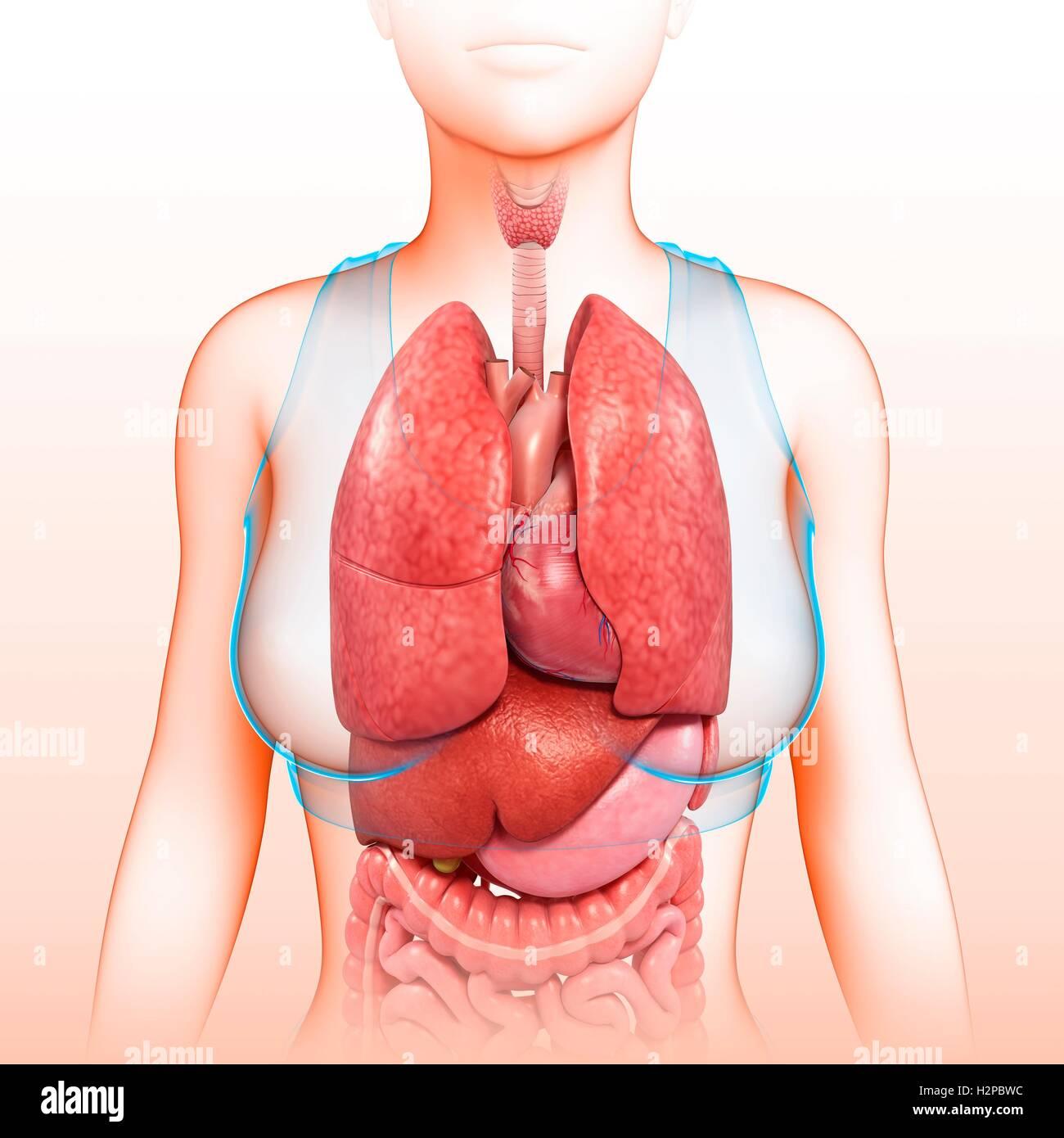 Human Body Female Organs Stockfotos & Human Body Female Organs ...