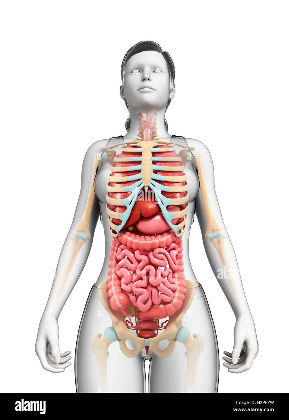 Atemberaubend Weibliche Anatomie Galerie - Anatomie Ideen - finotti.info