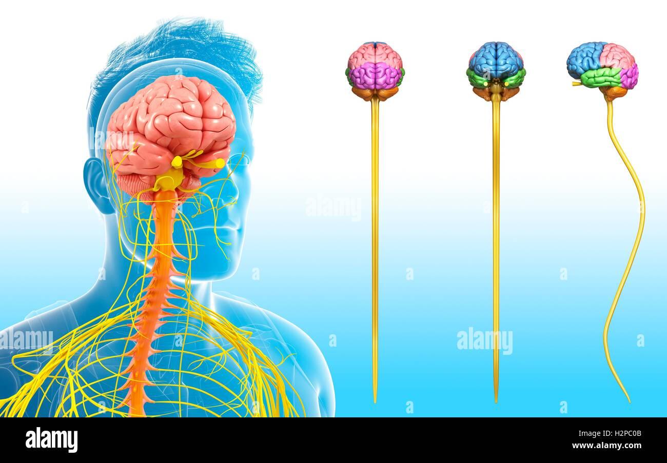 Illustration des menschlichen Gehirns und des Rückenmarks und der ...