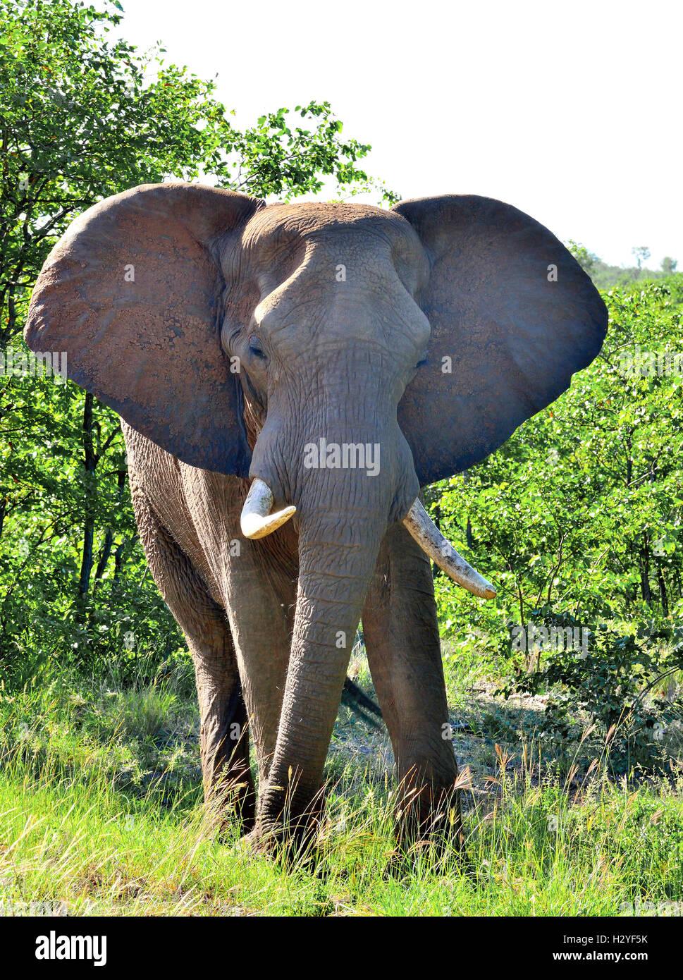 Elefant, eine bedrohliche Gebühr Ohren flattern und Stamm in die Straße Seite Büsche in der Nähe Stockbild