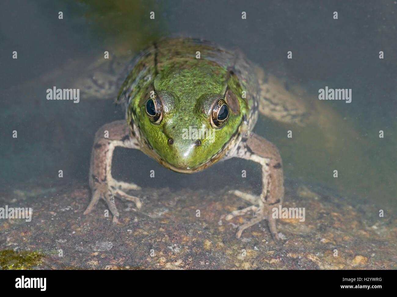 Grüner Frosch (Rana Clamitans), Teich, E USA von Skip Moody / Dembinsky Foto Associates Stockfoto