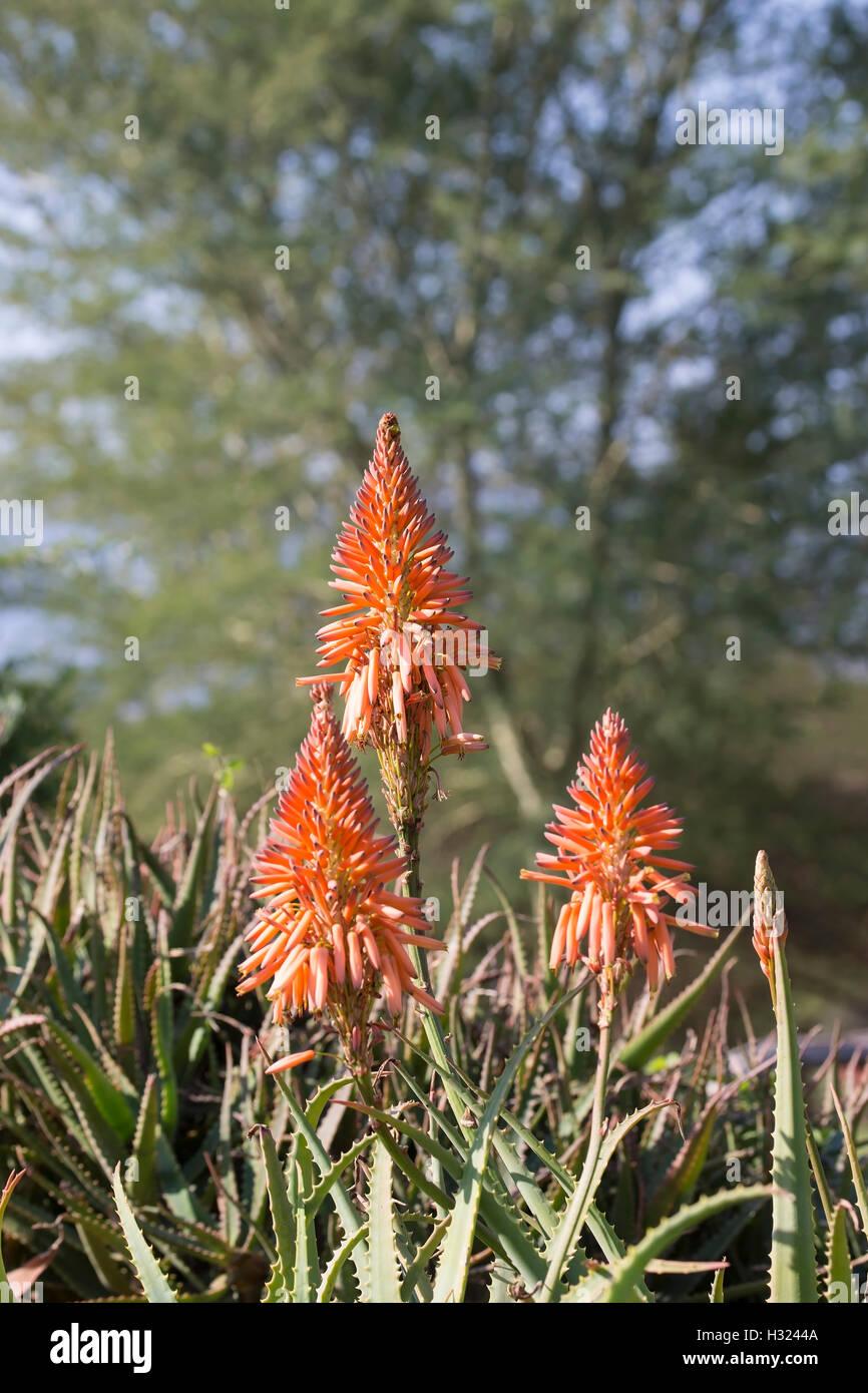 Rot Orange Aloe-Pflanzen blühen in Südafrika, wo Gruppen von gelb, orange oder rote Röhrenblüten, Winkel nach unten Stockfoto