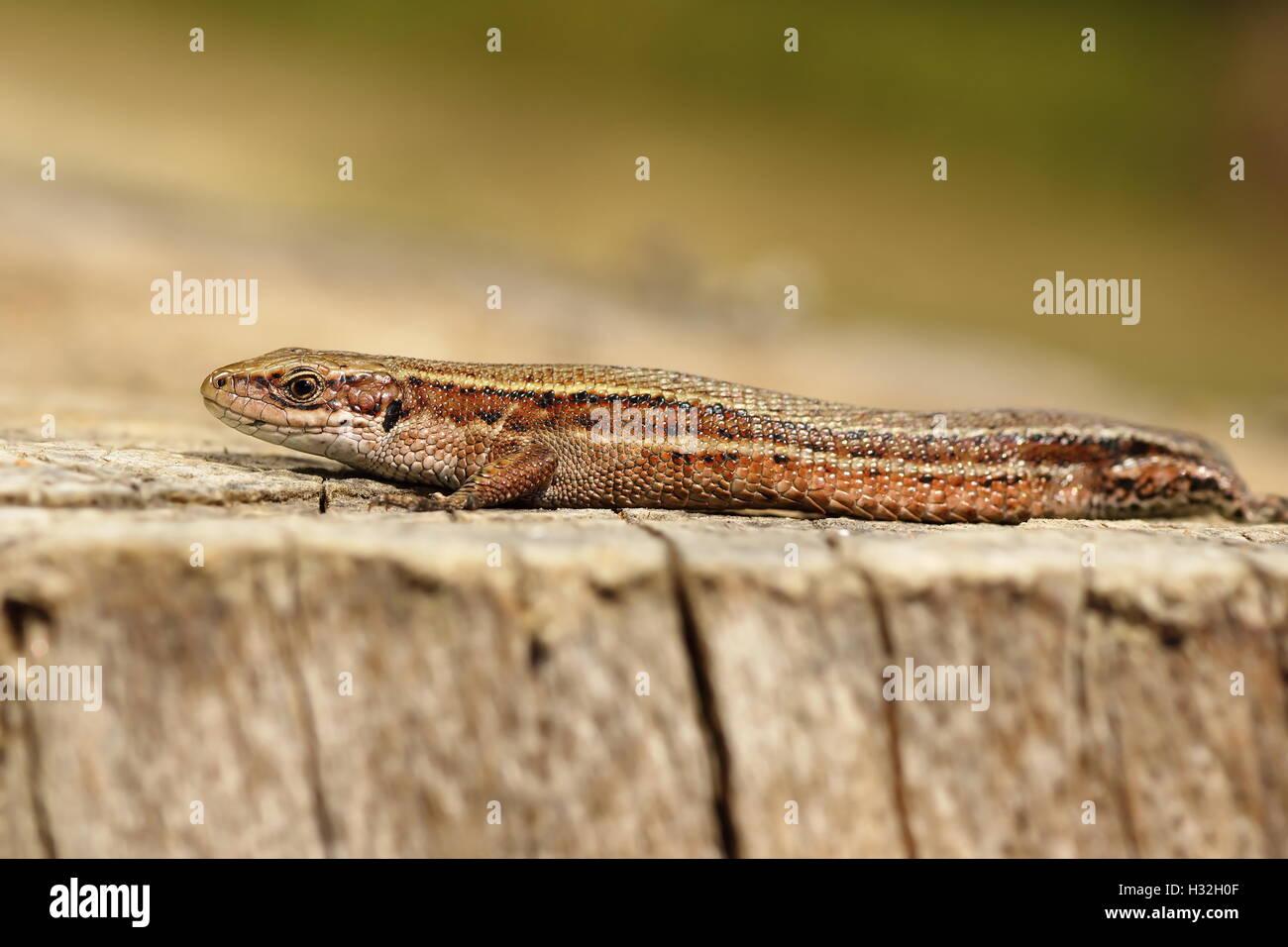 Nahaufnahme von lebendgebärend Eidechse Aalen auf Holz stumpf (Zootoca Vivipara) Stockfoto