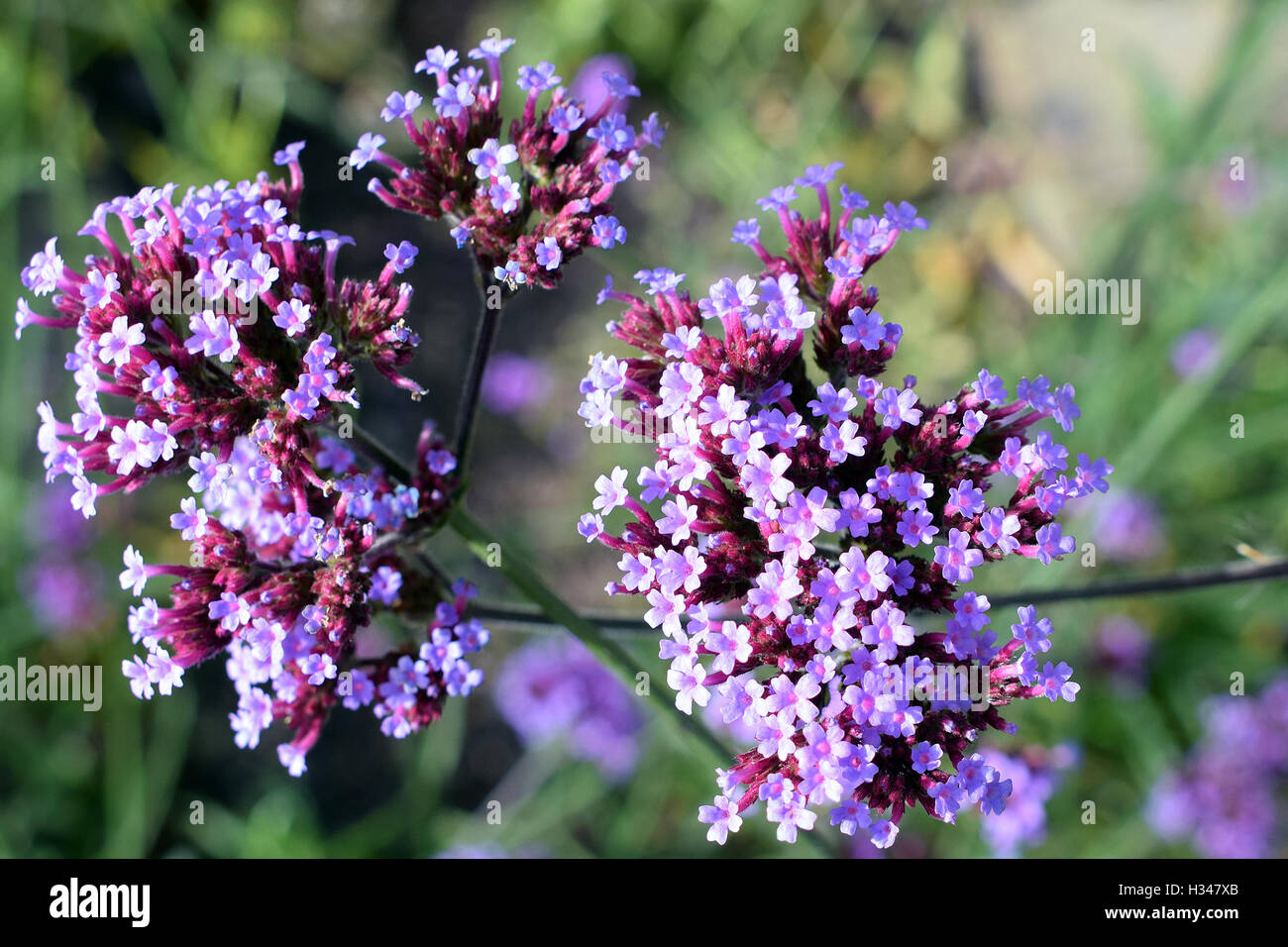 Hohes Eisenkraut verbena bonariensis auch bekannt als purpletop eisenkraut