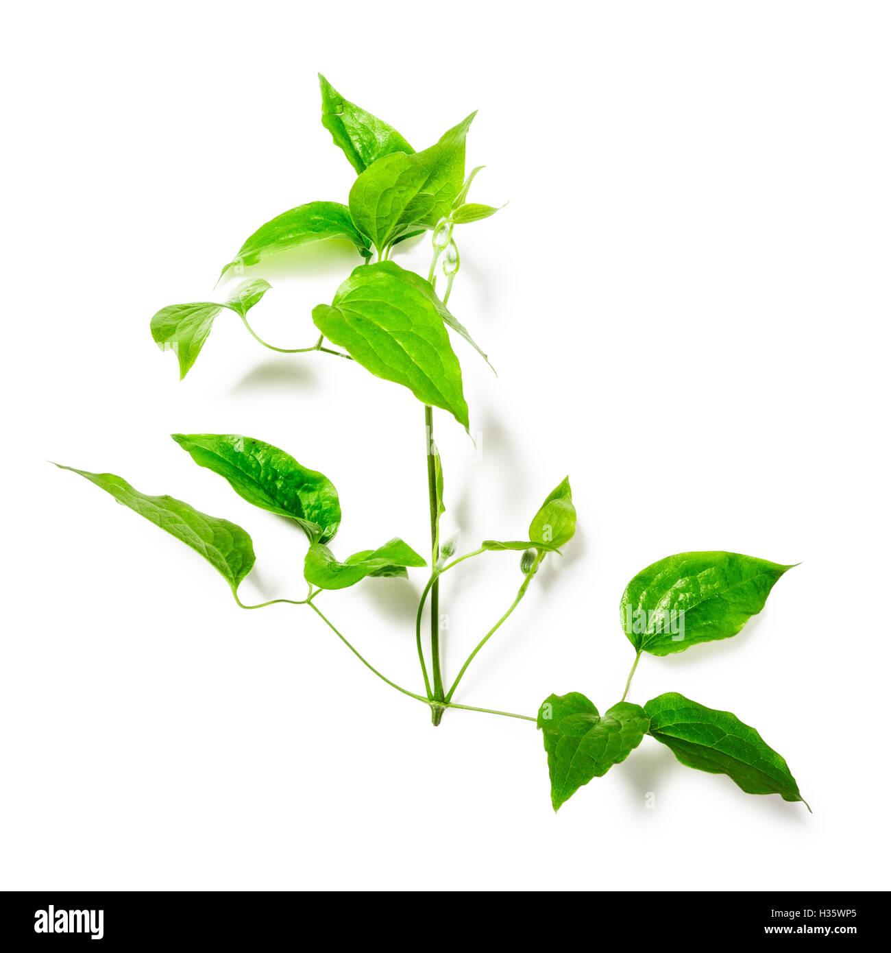 Clematis Blätter mit Ranke. Grünen Zweig isoliert auf weißem Hintergrund-Clipping-Pfad enthalten. Stockbild