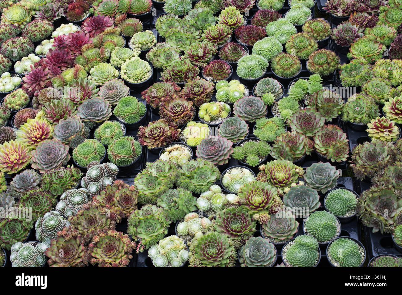 sempervivum hauswurz pflanzen in t pfen zum verkauf an die rhs wisley herbstliche blumenschau. Black Bedroom Furniture Sets. Home Design Ideas