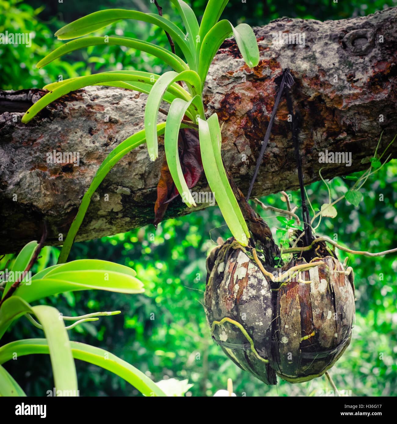 Orchideen im tropischen regenwald  Tropische Orchideen wachsen in getrockneten Kokosnuss Topf im ...