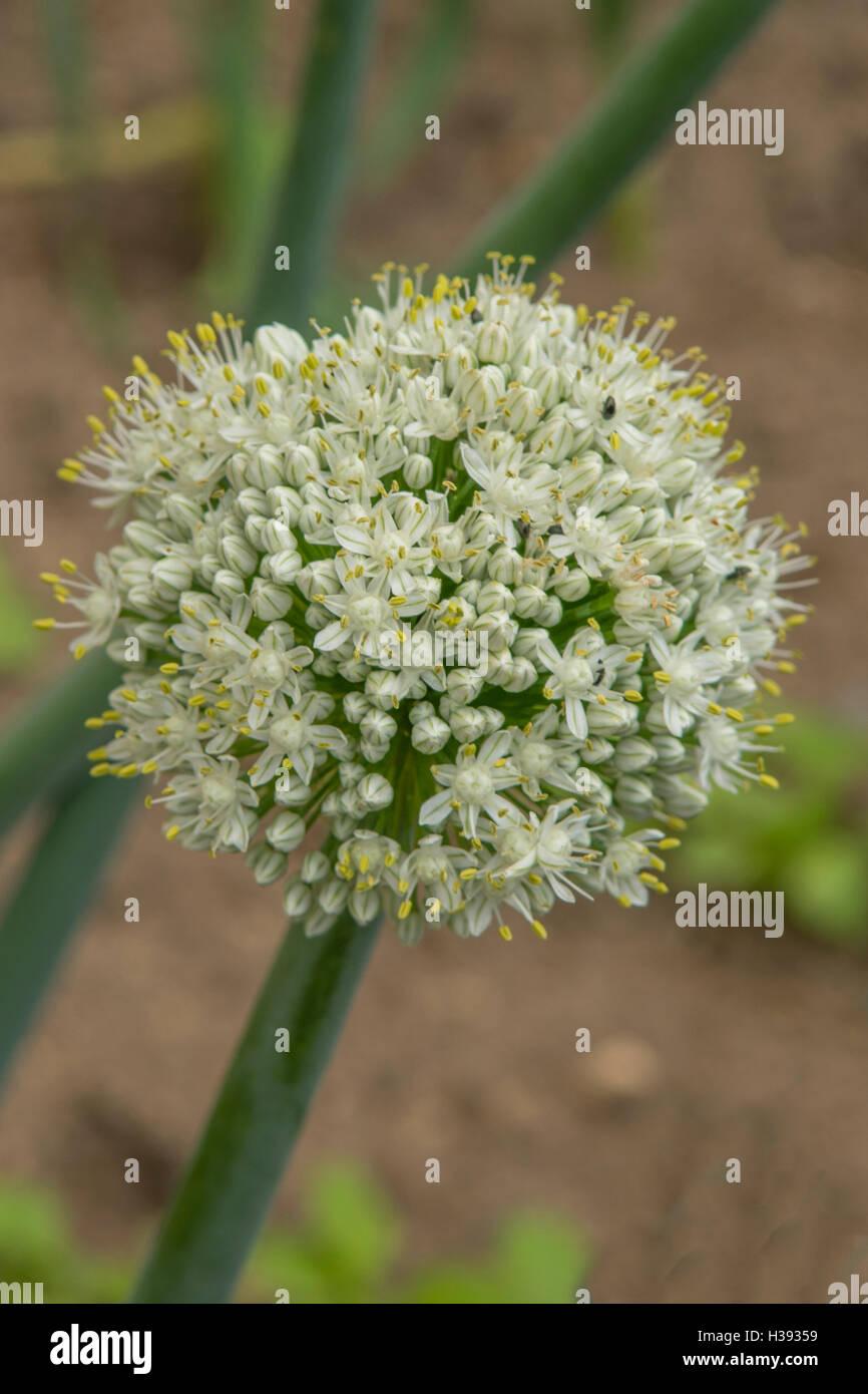 Allium Cepa, gemeinsame Zwiebel Stockbild