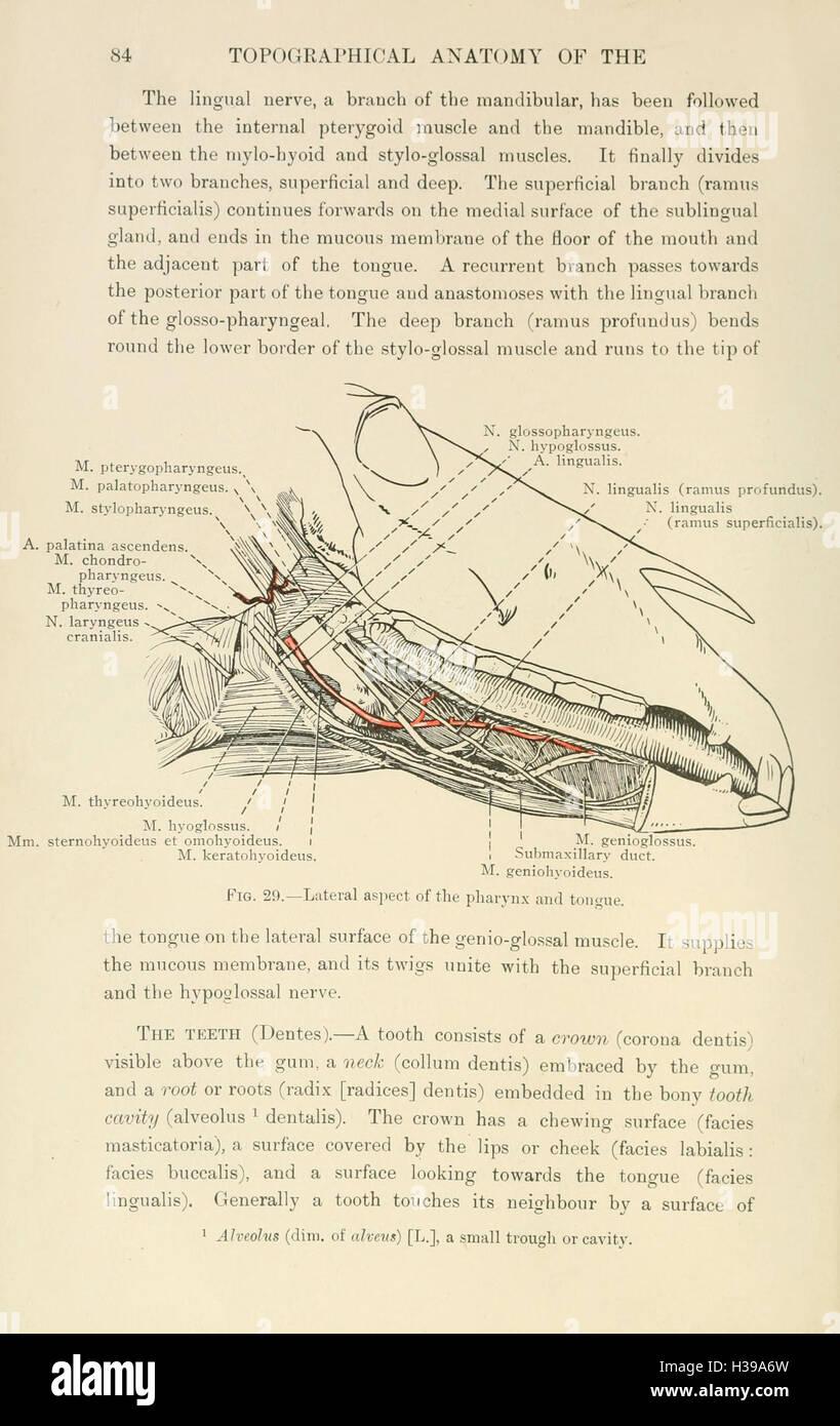 Fantastisch Hals Anatomie Ppt Fotos - Physiologie Von Menschlichen ...