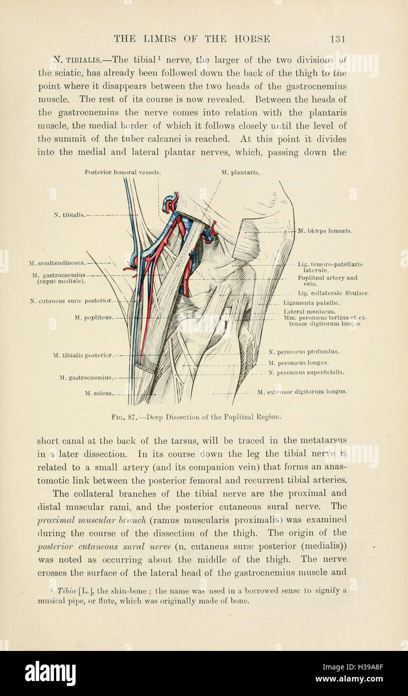 Topographical Anatomy Limbs Horse Page Stockfotos & Topographical ...