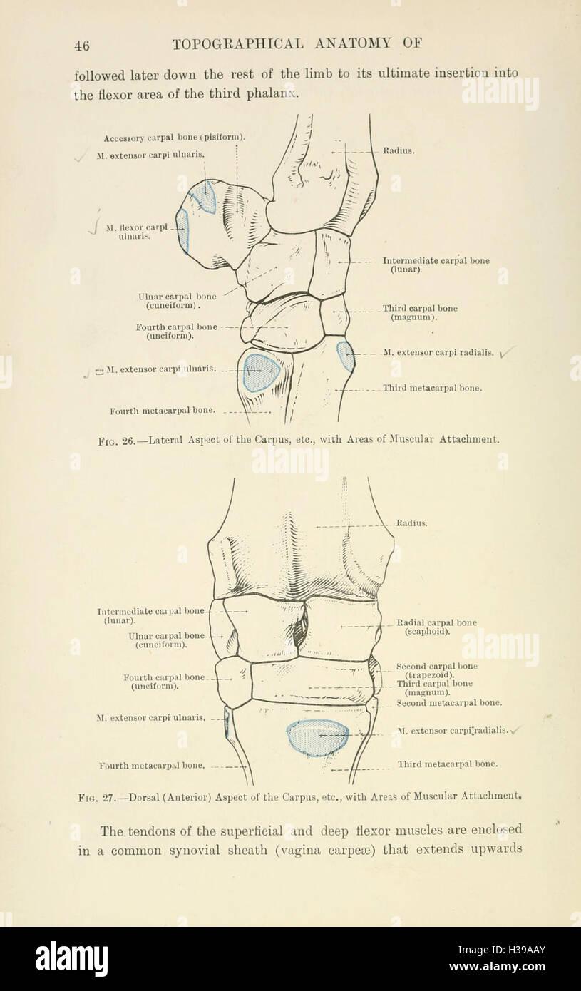 Die topographische Anatomie der Gliedmaßen des Pferdes (Seite 46 ...