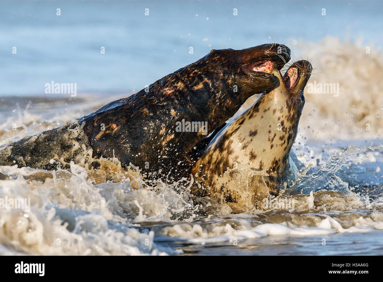 Kegelrobben Balz Verhalten, Nordseeküste, Norfolk, England Stockbild