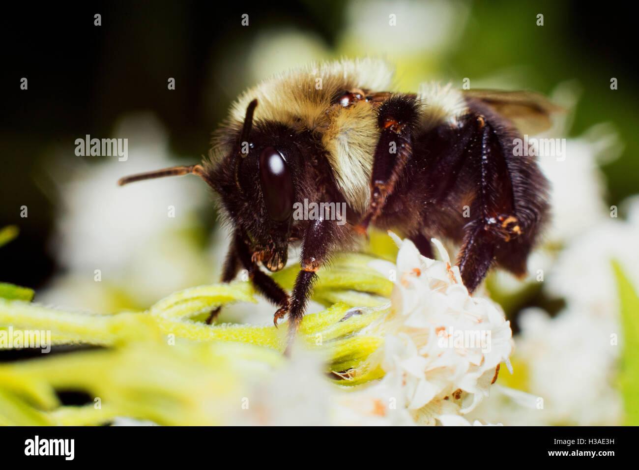 Bubmledore die Biene Stockbild