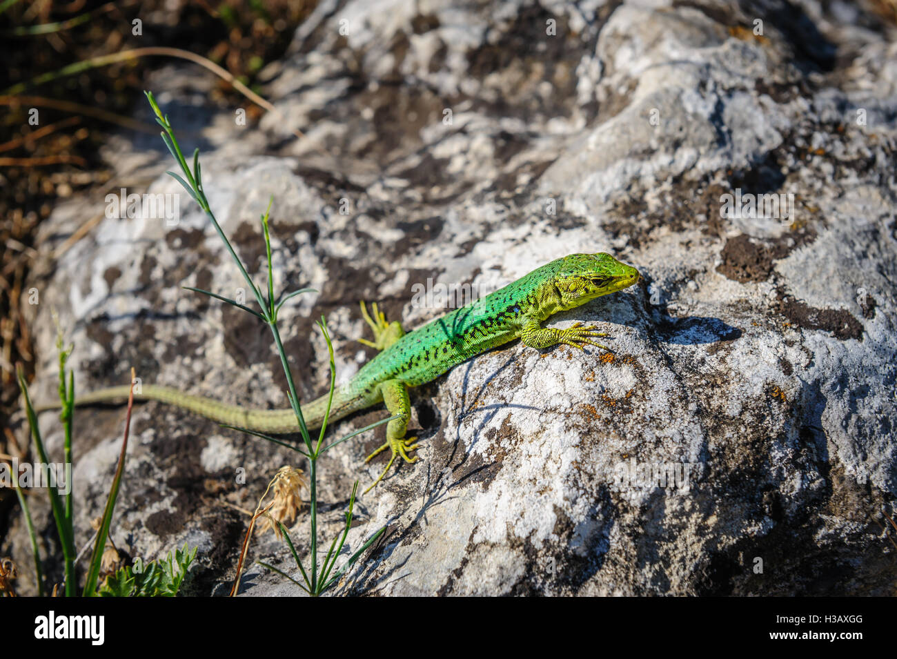 grüne Eidechse auf Stein Stockfoto