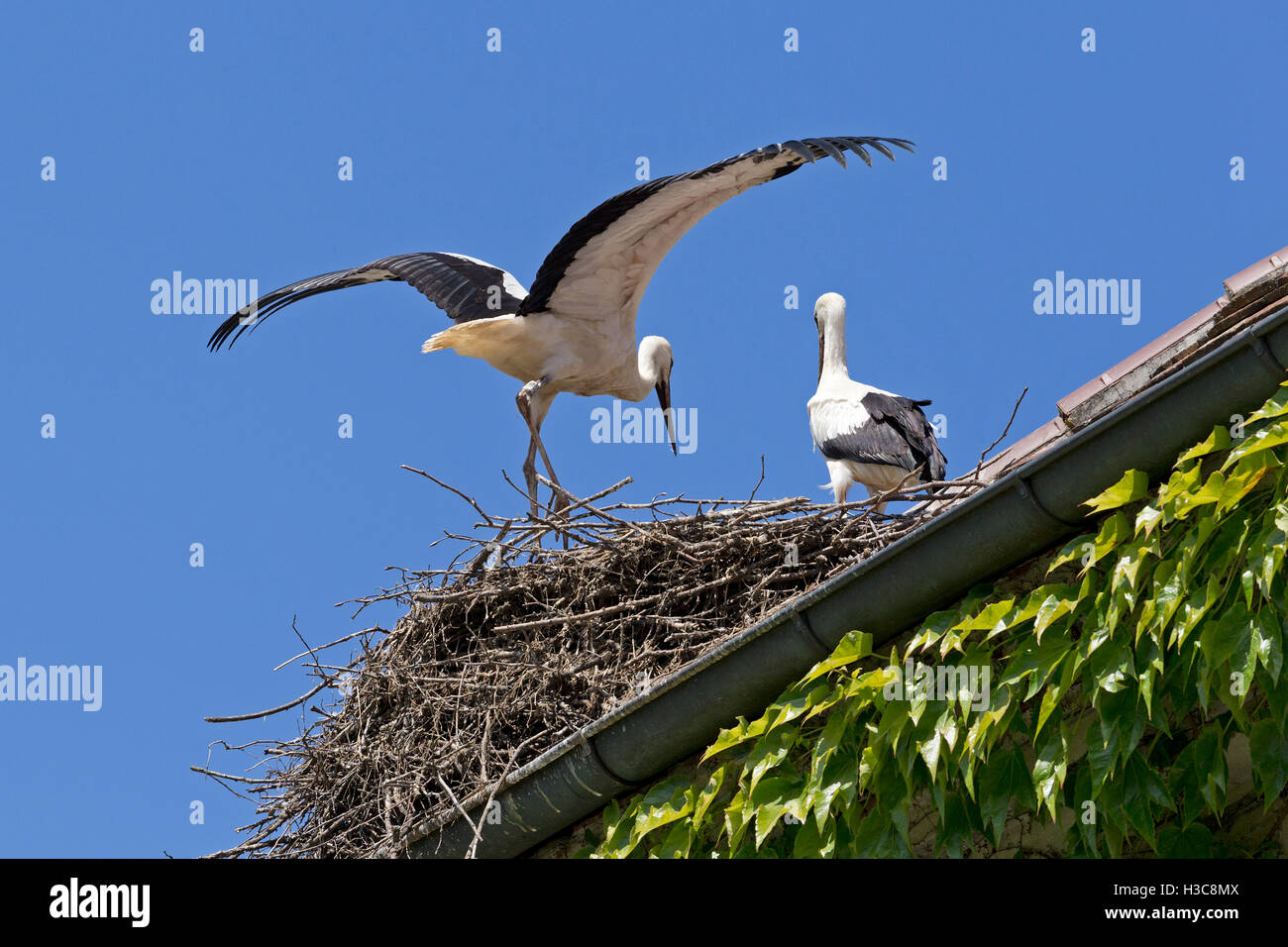 Störche in ihrem Nest in der Nähe von Bodensee, Baden-Württemberg, Deutschland Stockbild