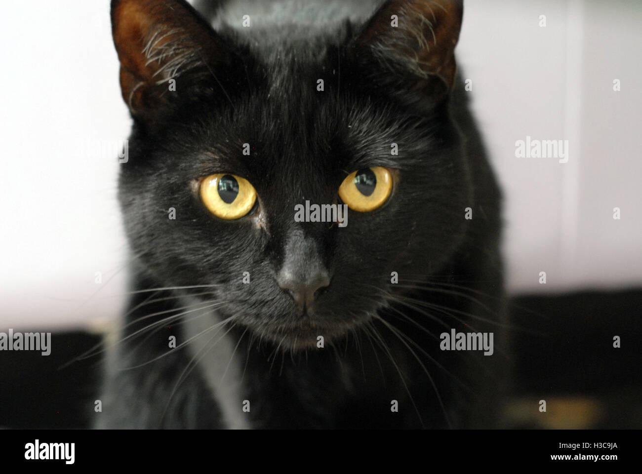 Schwarze Katze Mit Gelben Augen Kopf Closeup Stockfotografie Alamy