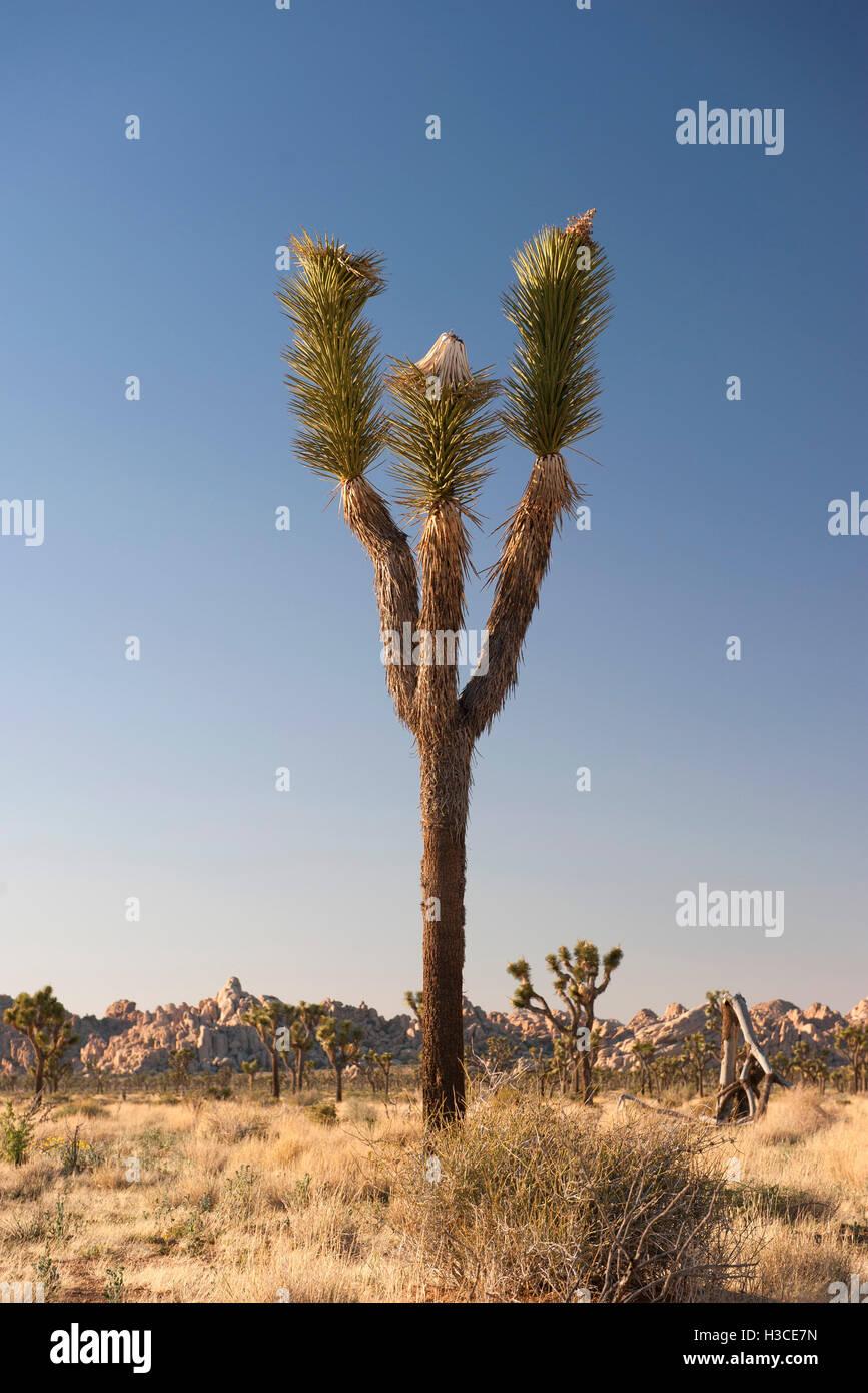 Joshua Baum (Yucca Brevifolia) wächst in Joshua Tree Nationalpark, Kalifornien, USA Stockfoto