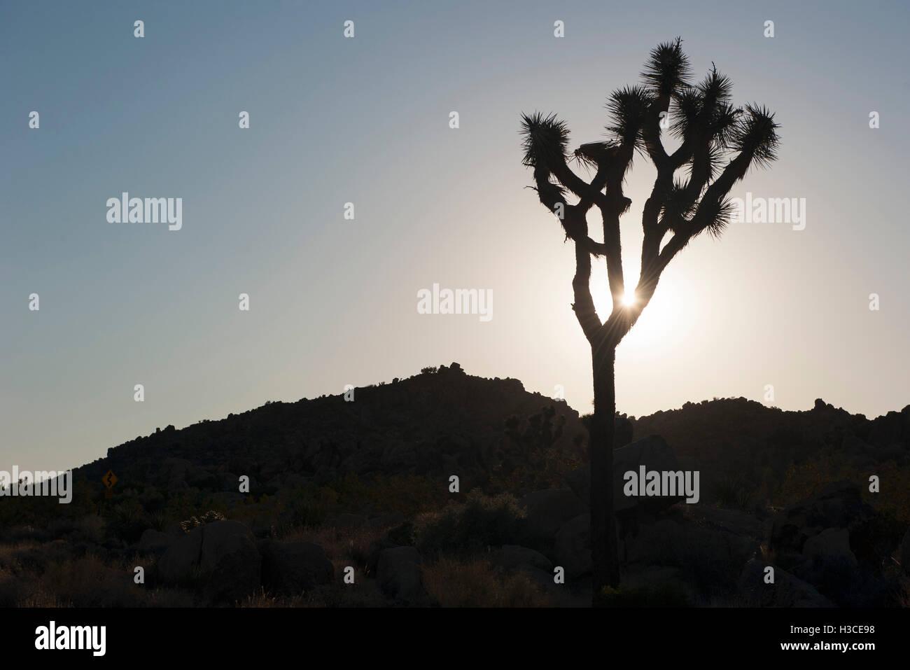 Joshua Tree Hintergrundbeleuchtung durch Sonne, Joshua Tree Nationalpark, Kalifornien, USA Stockfoto