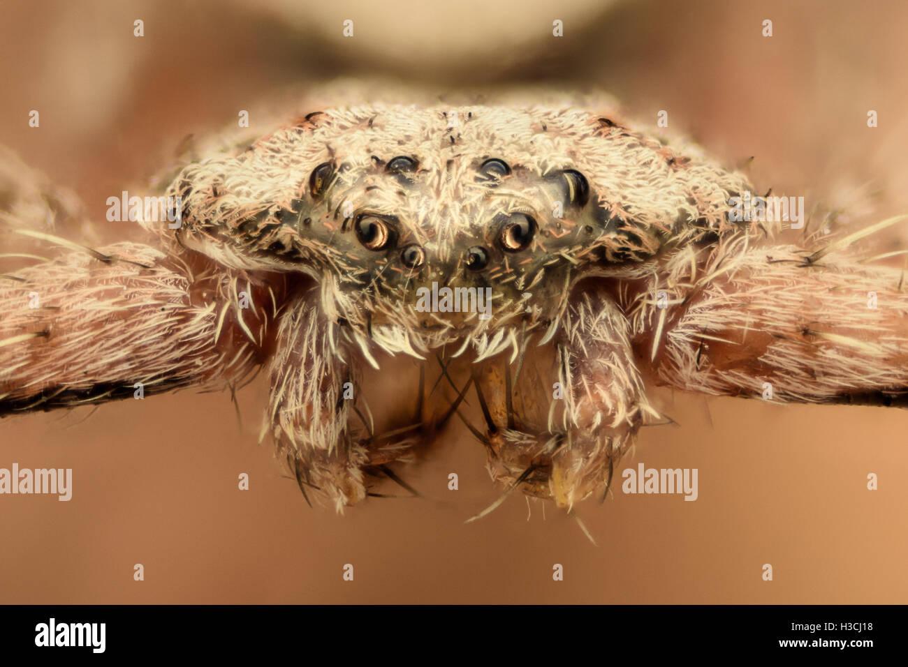 Extreme Vergrößerung - flache Spinne, Krabben, Vorderansicht Stockbild