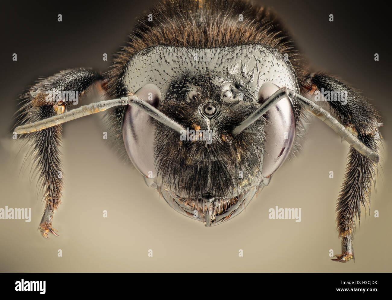 Extreme Vergrößerung - Riesen schwarze Wespe Stockbild
