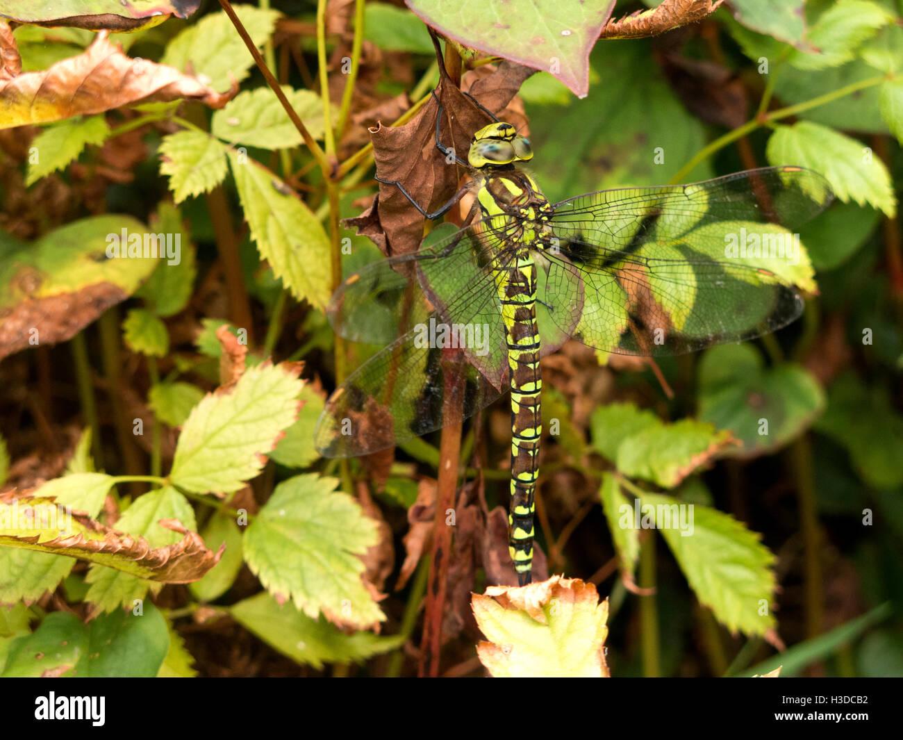 Gemeinsamen Hawker Libelle weiblich Stockbild