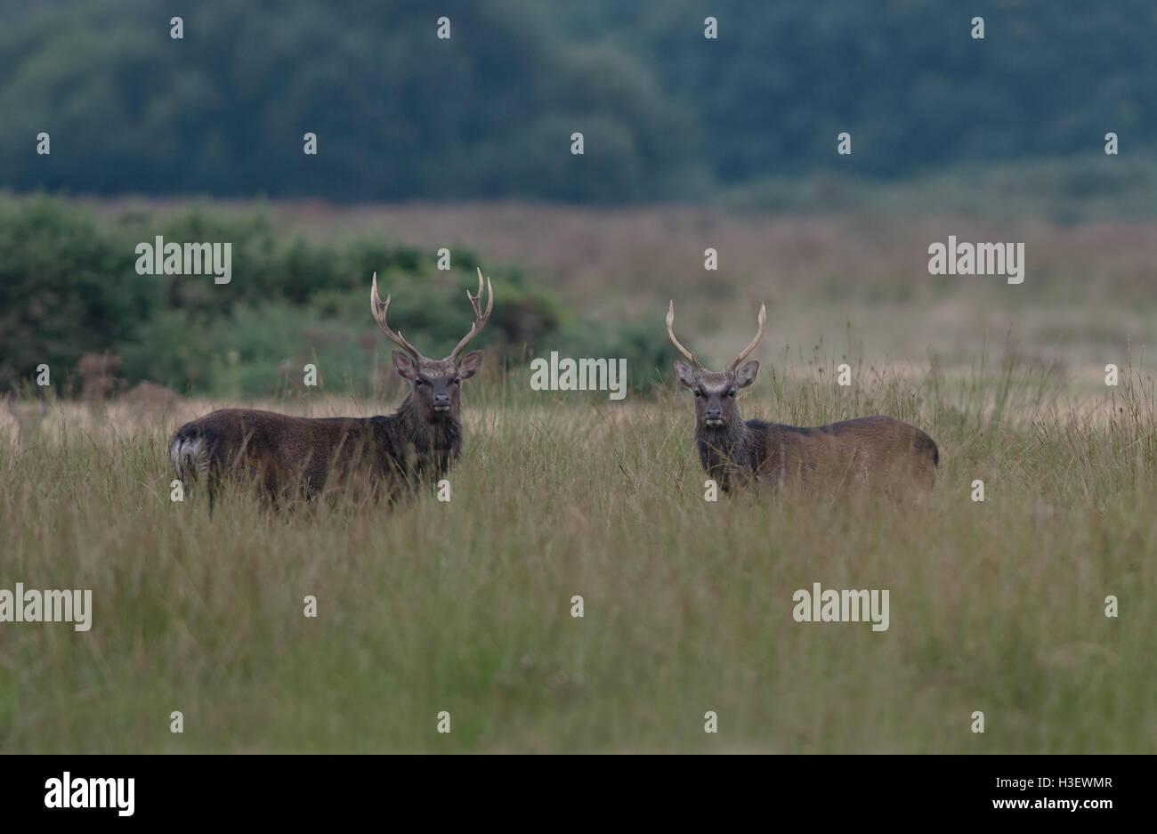 Paar von Sika Rotwild (Hirsche) - Cervus Nippon. Stockbild