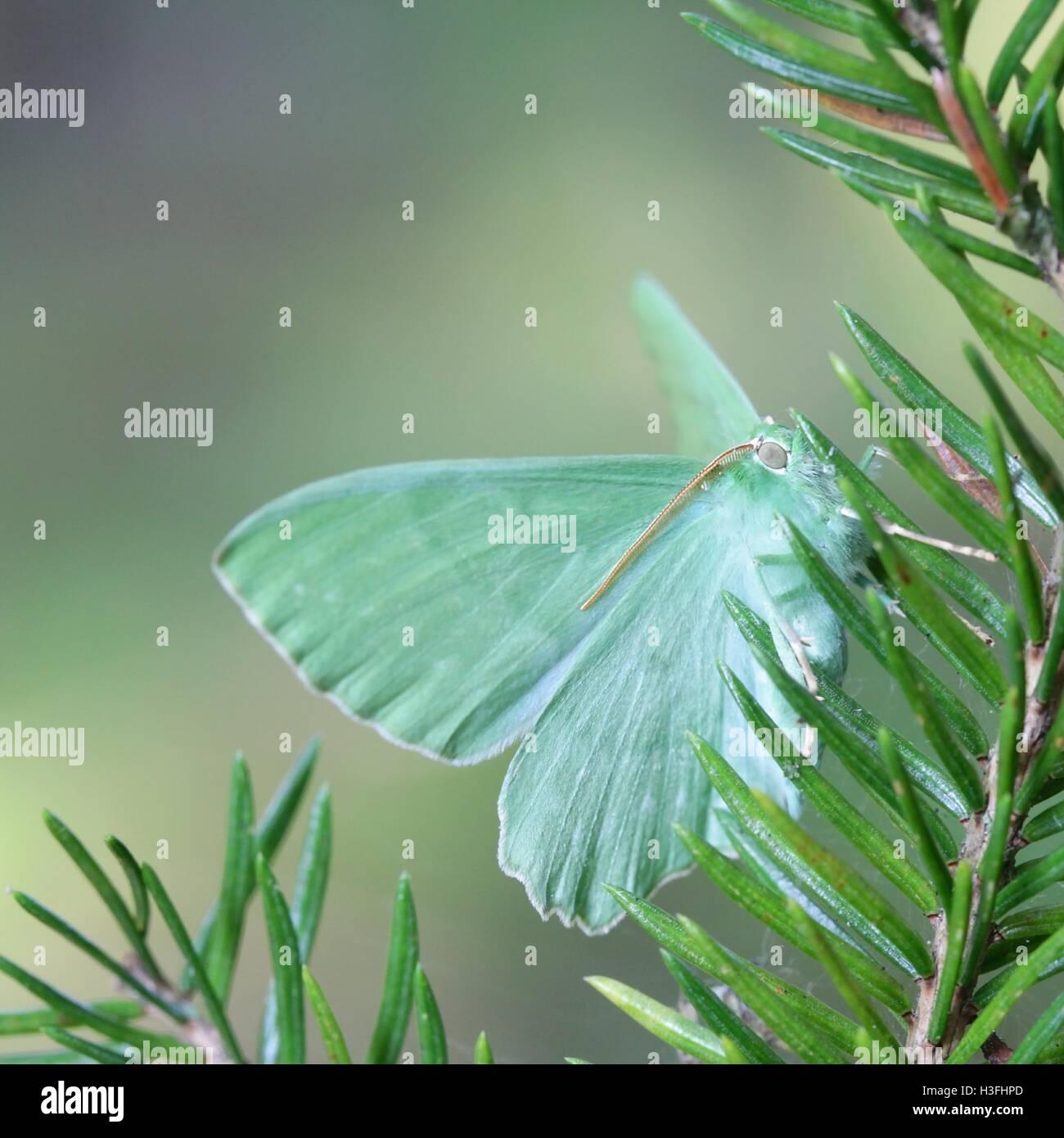 Großer Smaragd, Geometra papilionaria Stockbild
