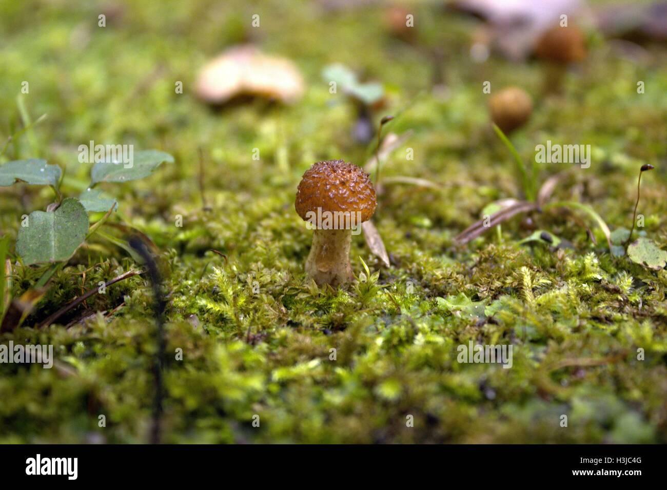 Armillaria Gallica; Winzige holprigen braunen Pilz in Moos Stockbild