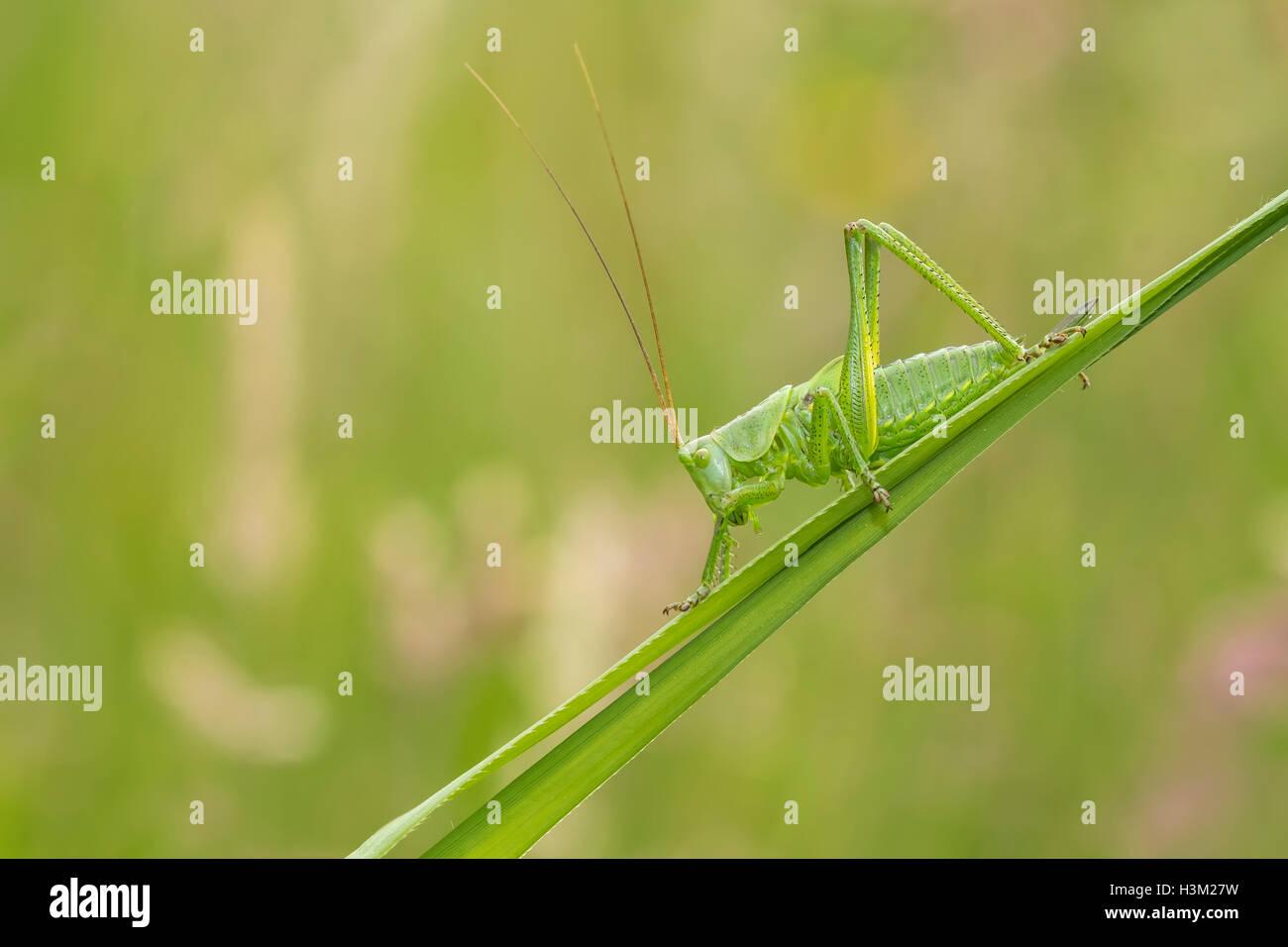 Makro Nahaufnahme eine große grüne Bush-Cricket, Tettigonia Viridissima, auf einer Wiese Stockbild