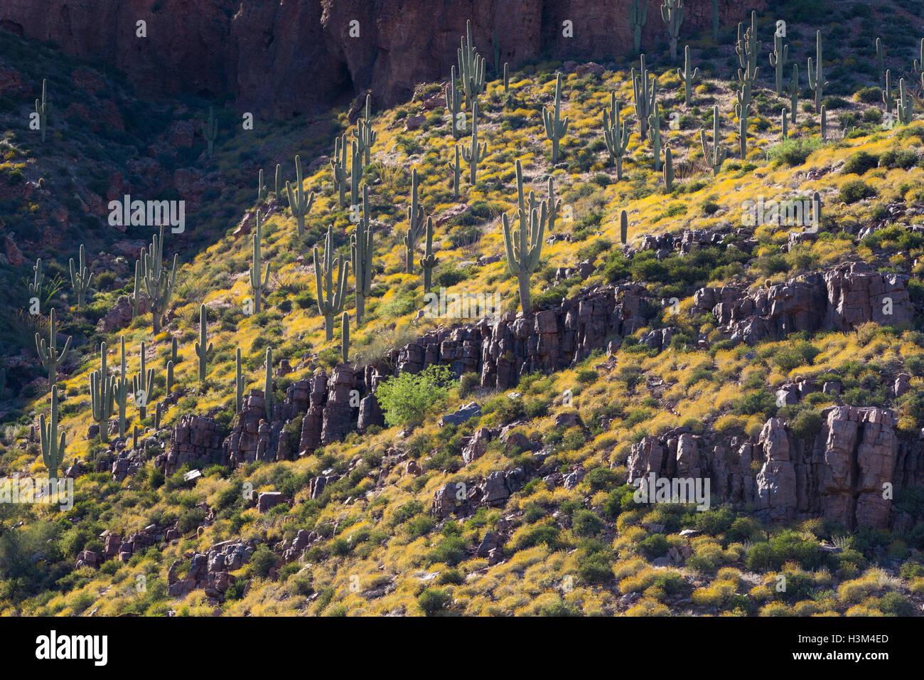 Saguaro-Kaktus auf einem Hügel in Brittlebrush Wildblumen in den Superstition Mountains abgedeckt. Tonto National Stockfoto