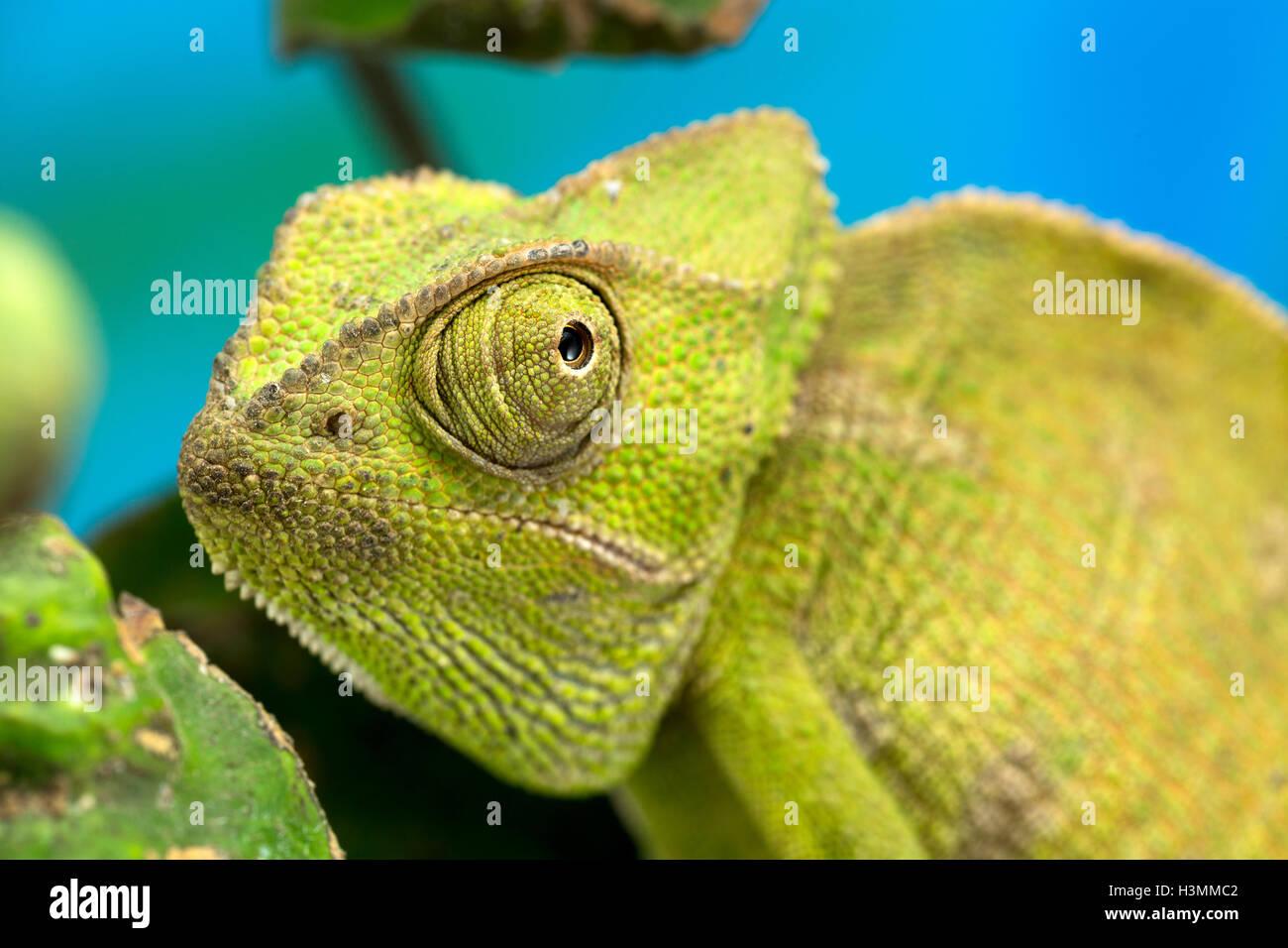 Nahaufnahme von einer grünen mittlerer Größe Chamäleon Stockbild