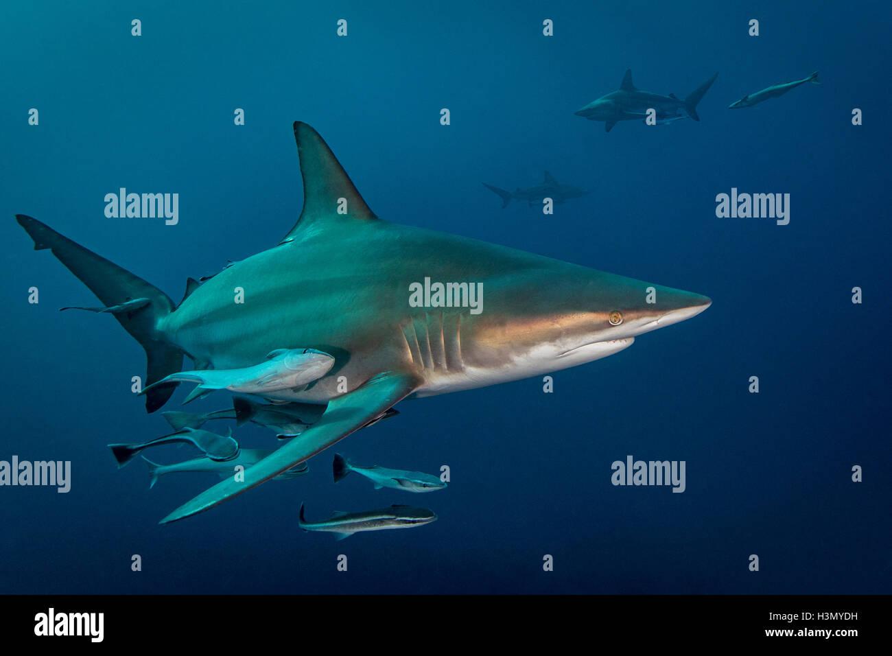 Ozeanische Schwarzspitzen Hai (Carcharhinus Limbatus) Kreisen Beute, Aliwal Shoal, Südafrika Stockbild