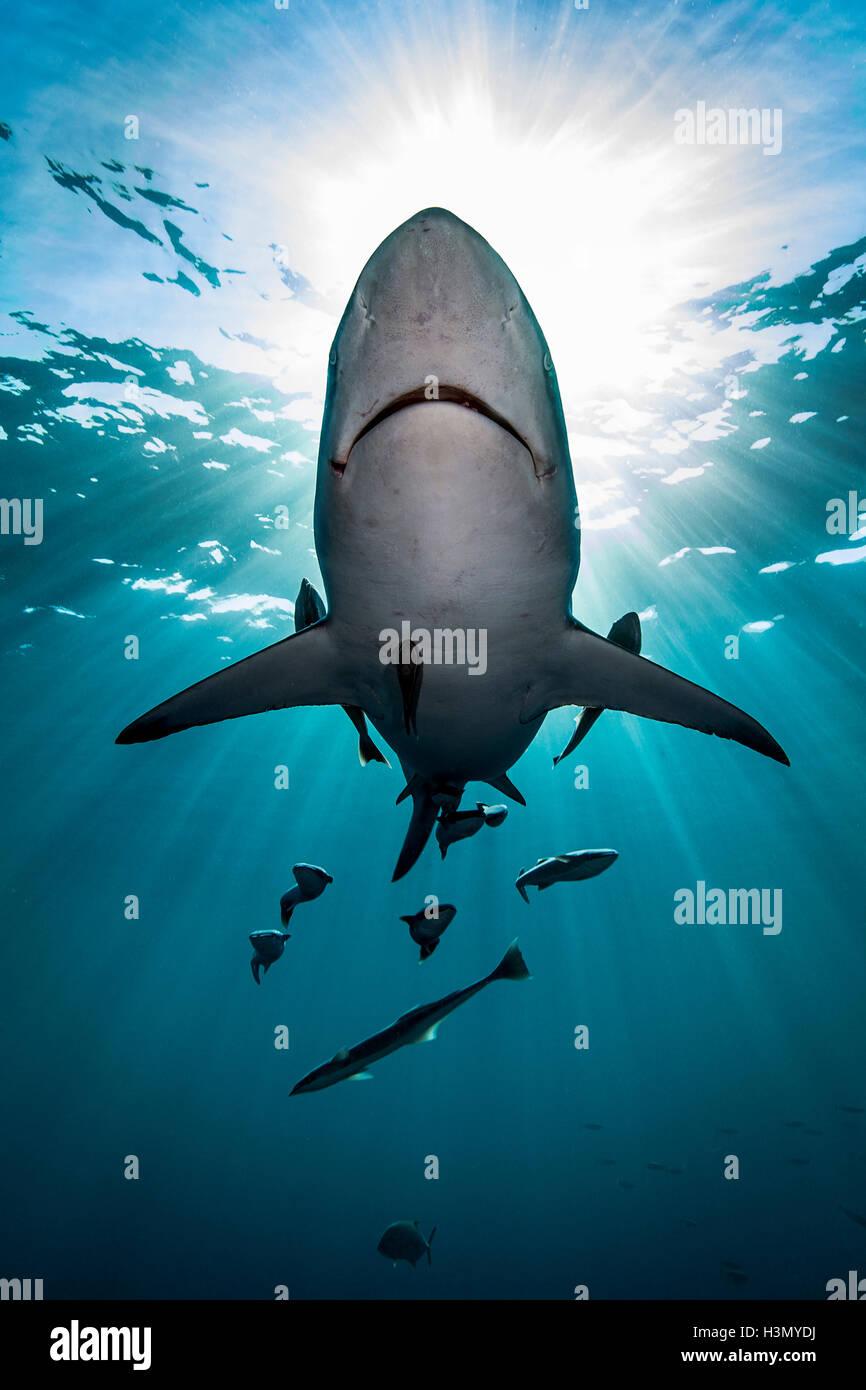 Großen ozeanischen Schwarzspitzen Hai (Carcharhinus Limbatus) schwimmen in der Nähe der Oberfläche des Ozeans, Aliwal Stockfoto