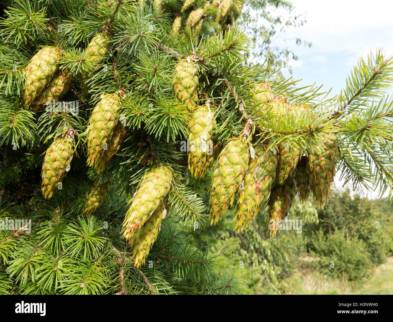 Evergreen Conifer Stockfotos & Evergreen Conifer Bilder - Alamy
