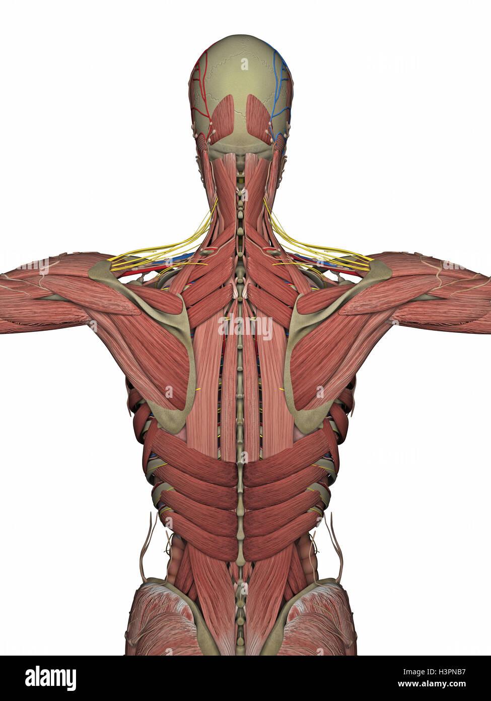 Fantastisch Anatomie Und Physiologie Mckinley 2. Auflage Galerie ...