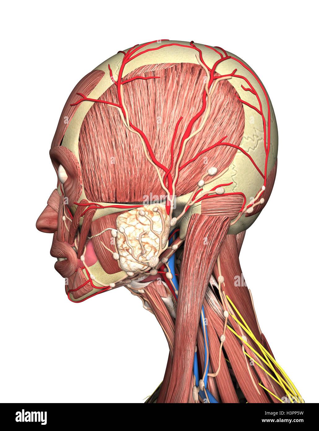 Anatomie des Kopfes Seitenansicht. 3D-Rendering Stockfoto, Bild ...