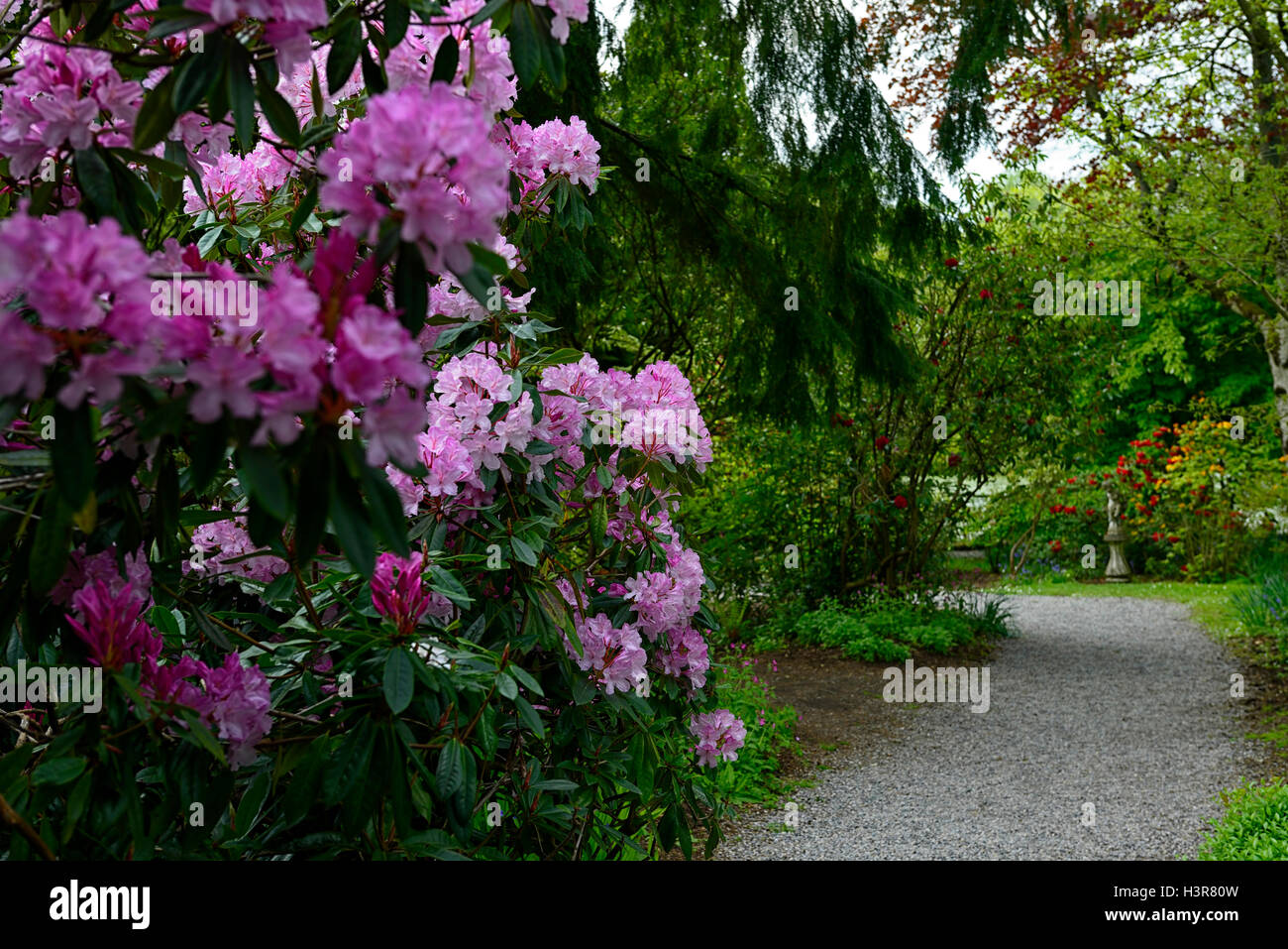 Rhododendron Frau EC Stirling Baum Bäume Sträucher Blumen Blüte Strauch Altamont Gärten Carlow Stockbild