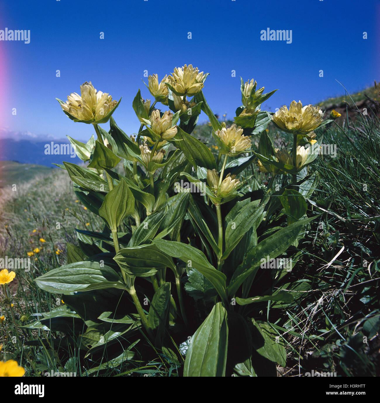 Welche Blumen Blühen Im September punktierte enzian gentiana trommler natur botanik fiora pflanzen