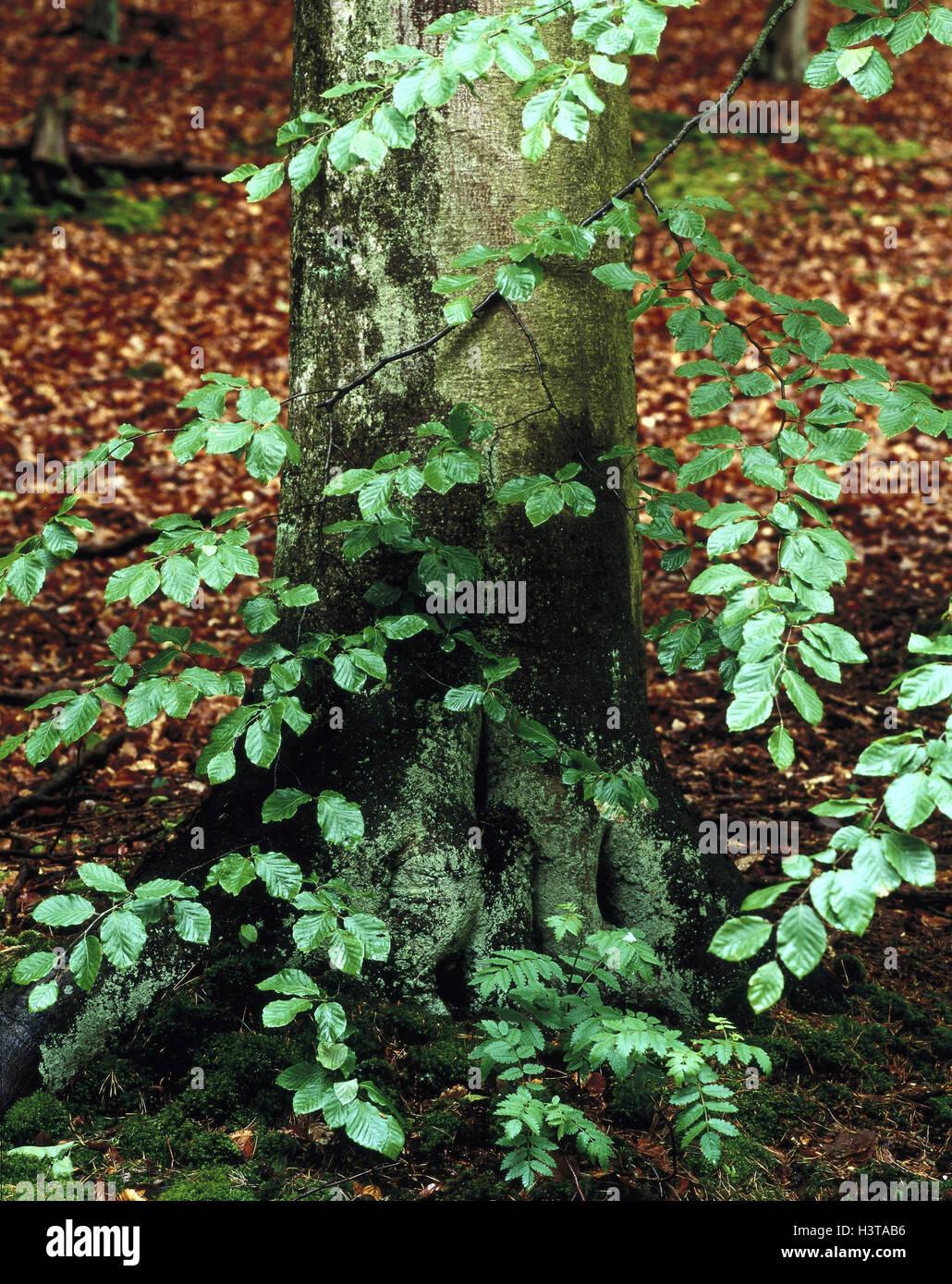 Buche Bäume, Stamm, Detail, Holz, Buch, Fagus spec, Stamm, Stamm, breitblättrigen Baum, Moos, Moos bedeckt, Stockbild