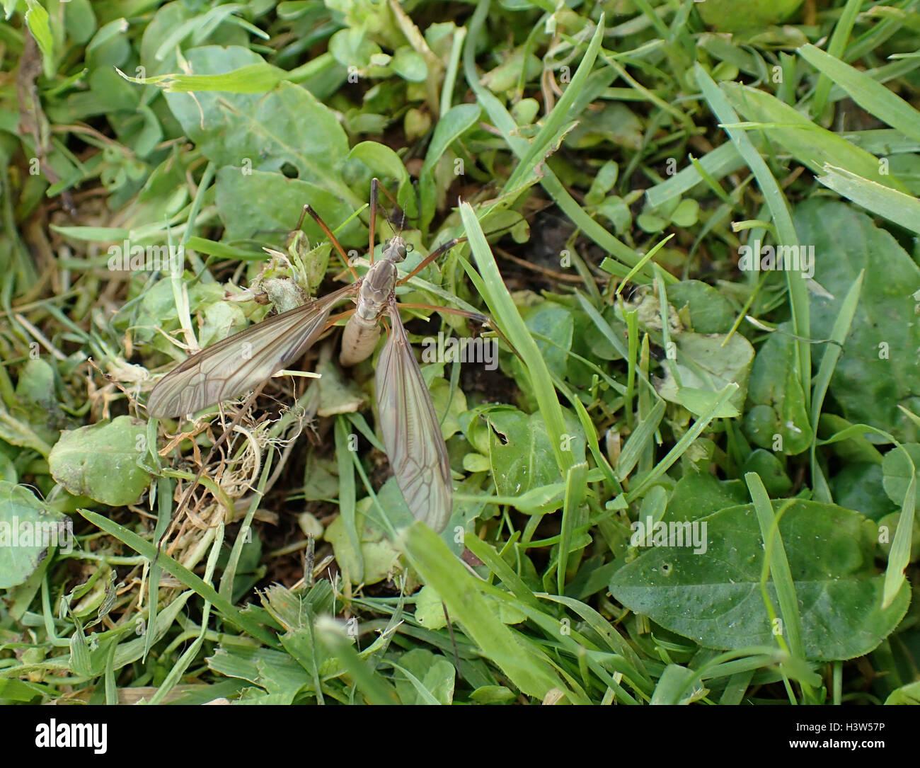 Nahaufnahme des weiblichen Kran-Fly (Tipula Oleracea) Eiablage im Rasen, von oben gesehen Stockbild