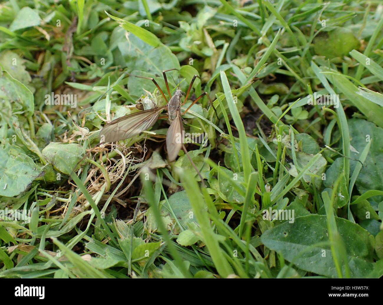 Nahaufnahme des weiblichen Kran-Fly (Tipula Oleracea) Eiablage im Rasen Stockbild