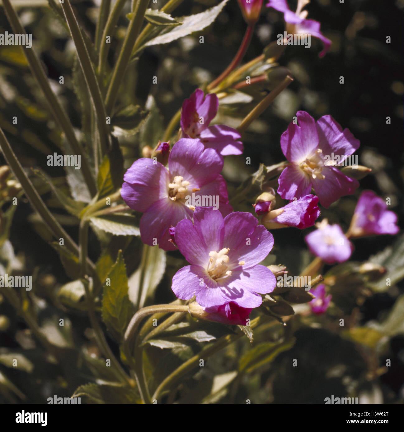 Welche Blumen Blühen Im September etwas ungepflegte weiden epilobium hirsutum natur botanik