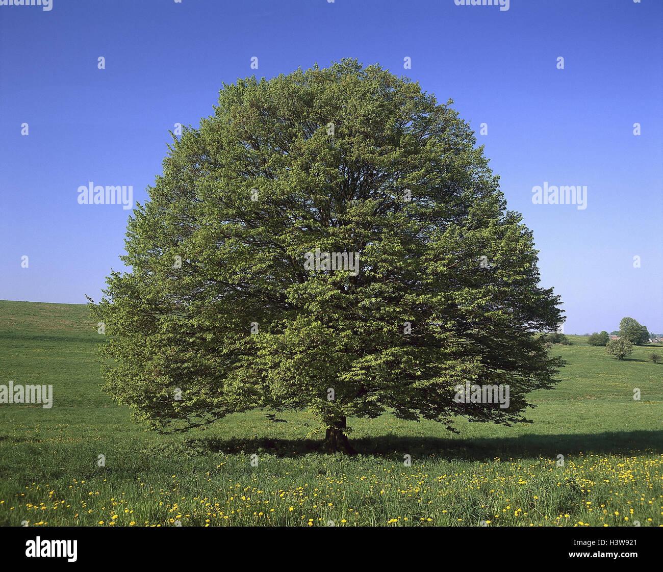 Wiese, Buch, Fagus spec, Frühling, Bäume, Baum, Laub-Wald, Hartholz, breitblättrigen Baum, Solitär Stockbild