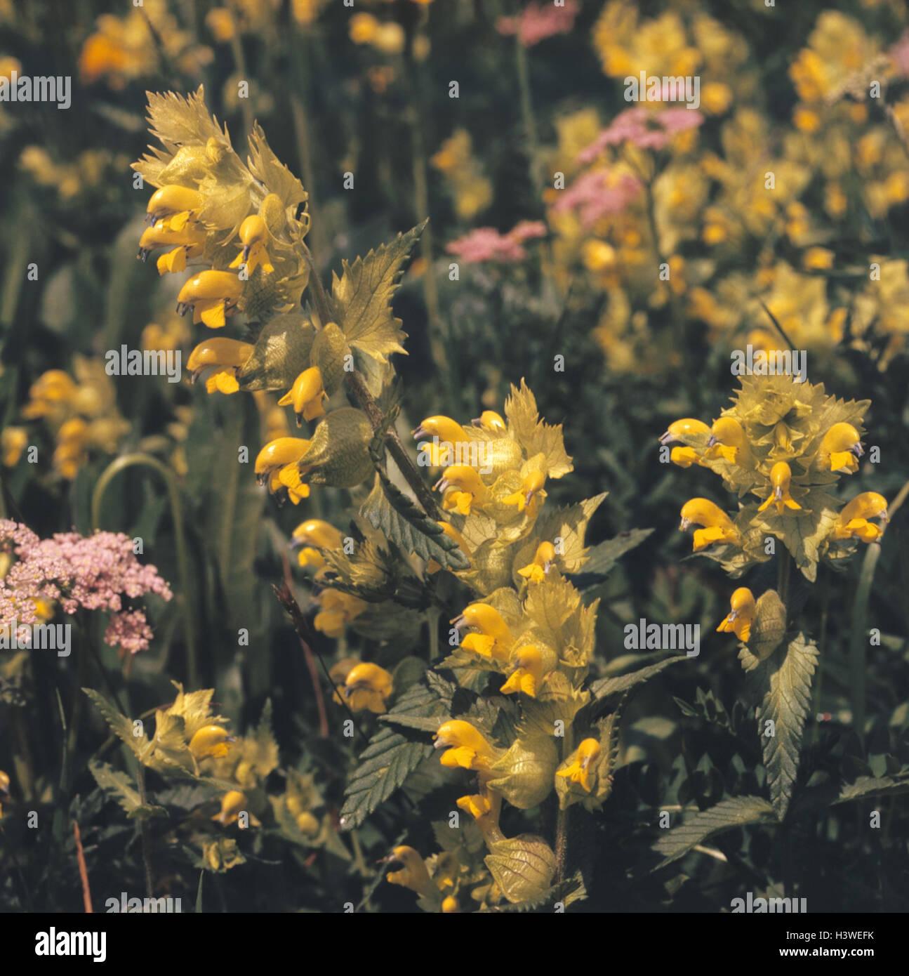 gro rasseln topf rhinanthus grandiflora nahaufnahme blume 2005 natur botanik flora. Black Bedroom Furniture Sets. Home Design Ideas