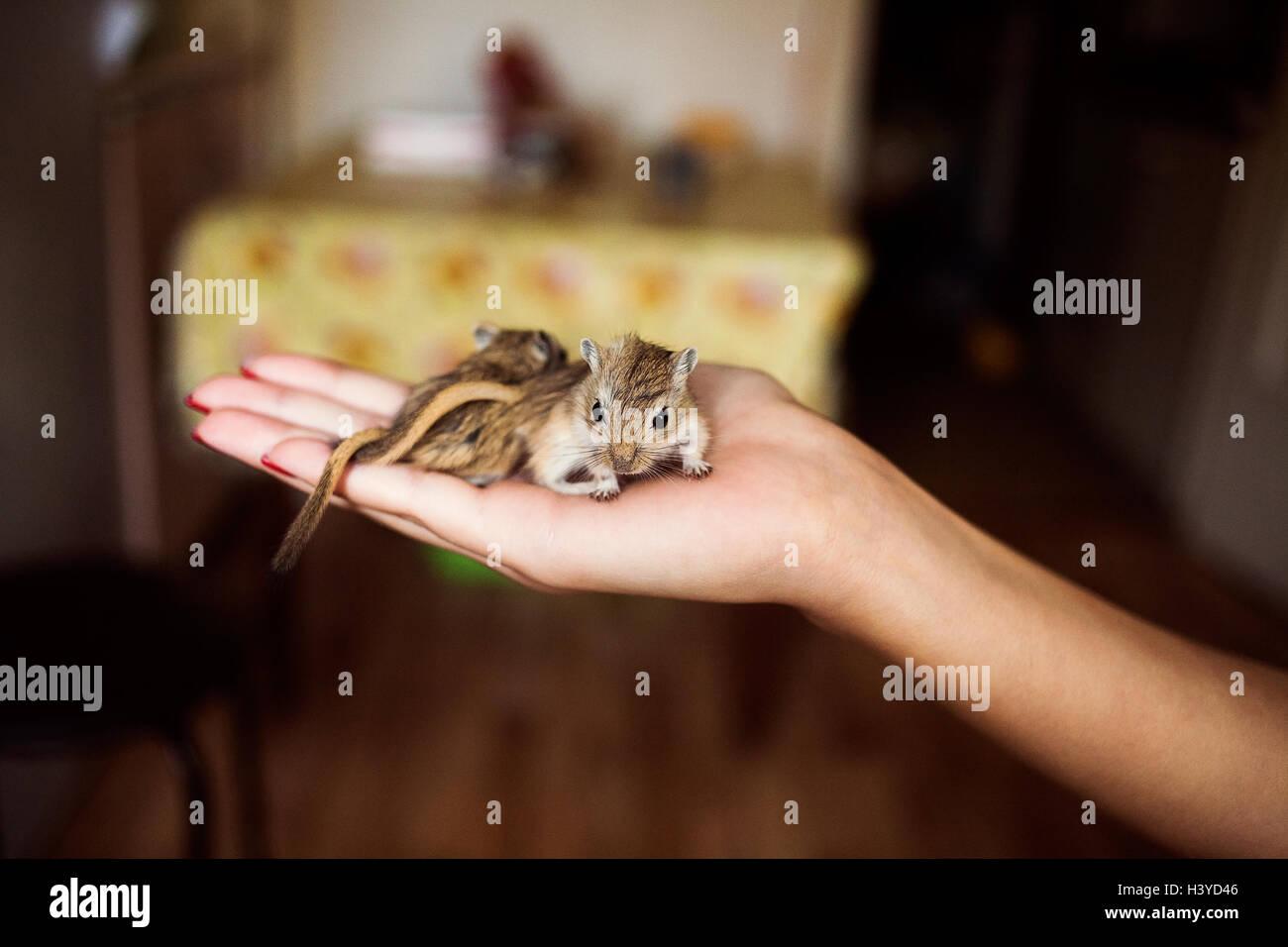 Niedliche Haustier Rennmaus in Menschenhand Stockbild
