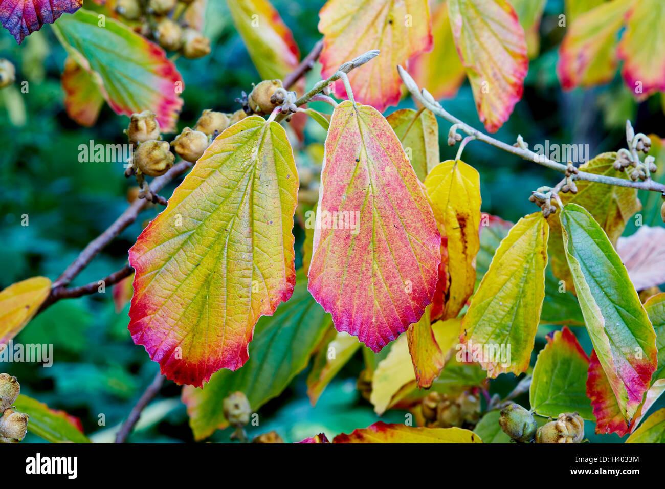 Hamamelis Baum Herbst Farbe in den Blättern mit seiner Frucht ...