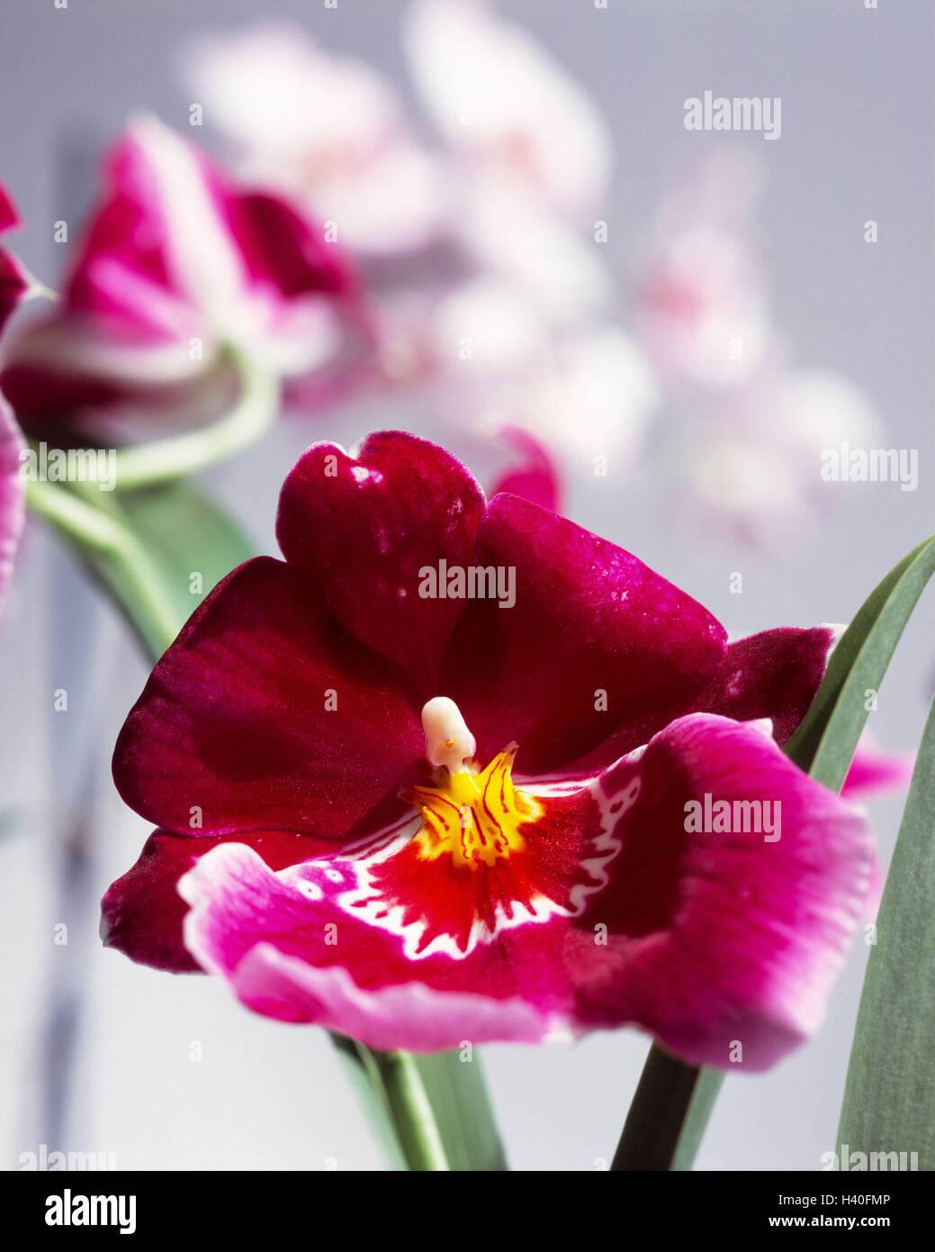 Orchidee Blüht, Blur, Miltonia, Blume, Pflanze, Exotische, Tropische,  Indoor Anlage, Orchidee, Schönheit, Zartheit, Blütenstand, Blüten, Blüte,  ...