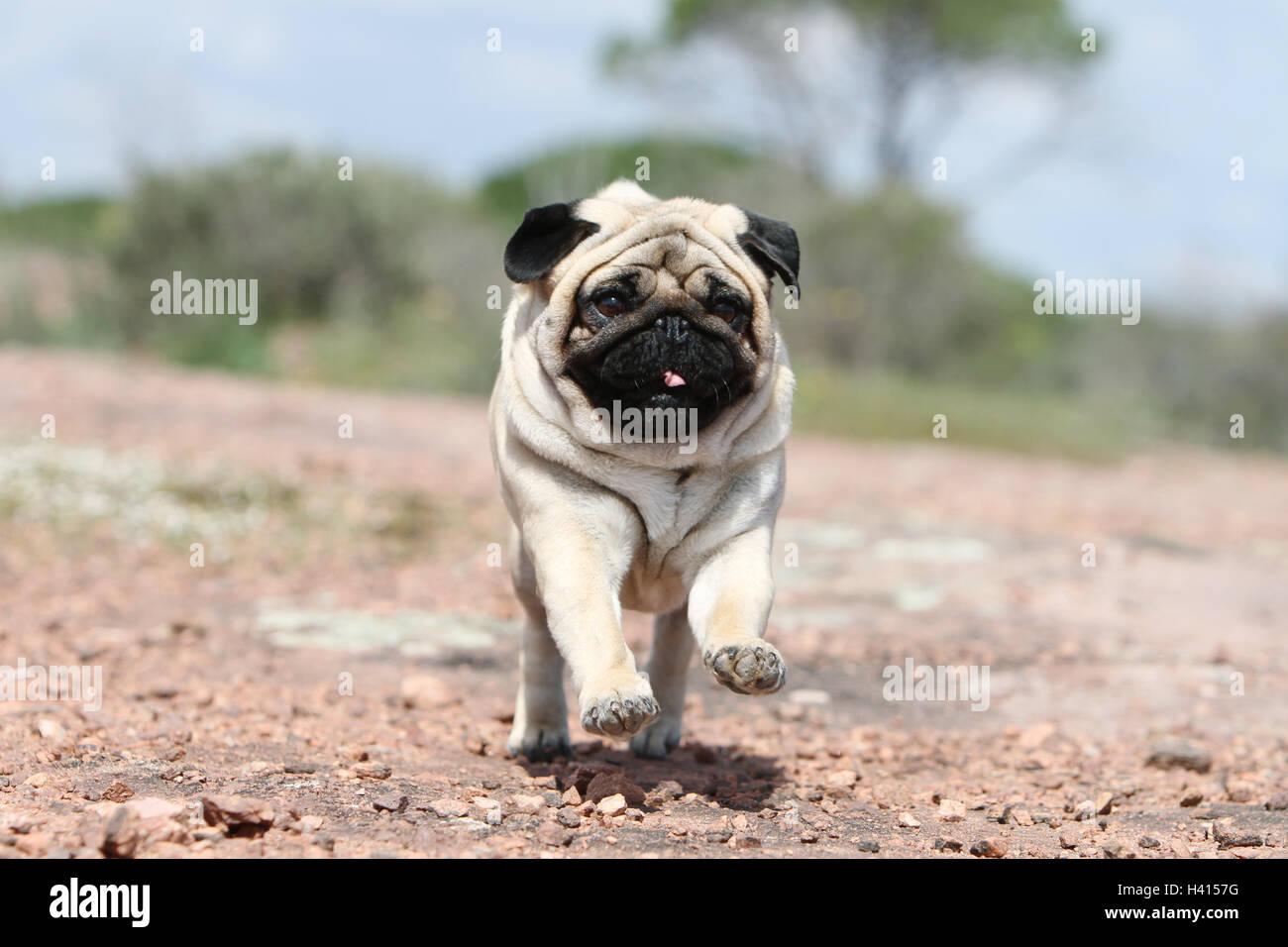 Hund Mops / Carlin / Mops Erwachsenen Reh grau grau stehende Felsen ...